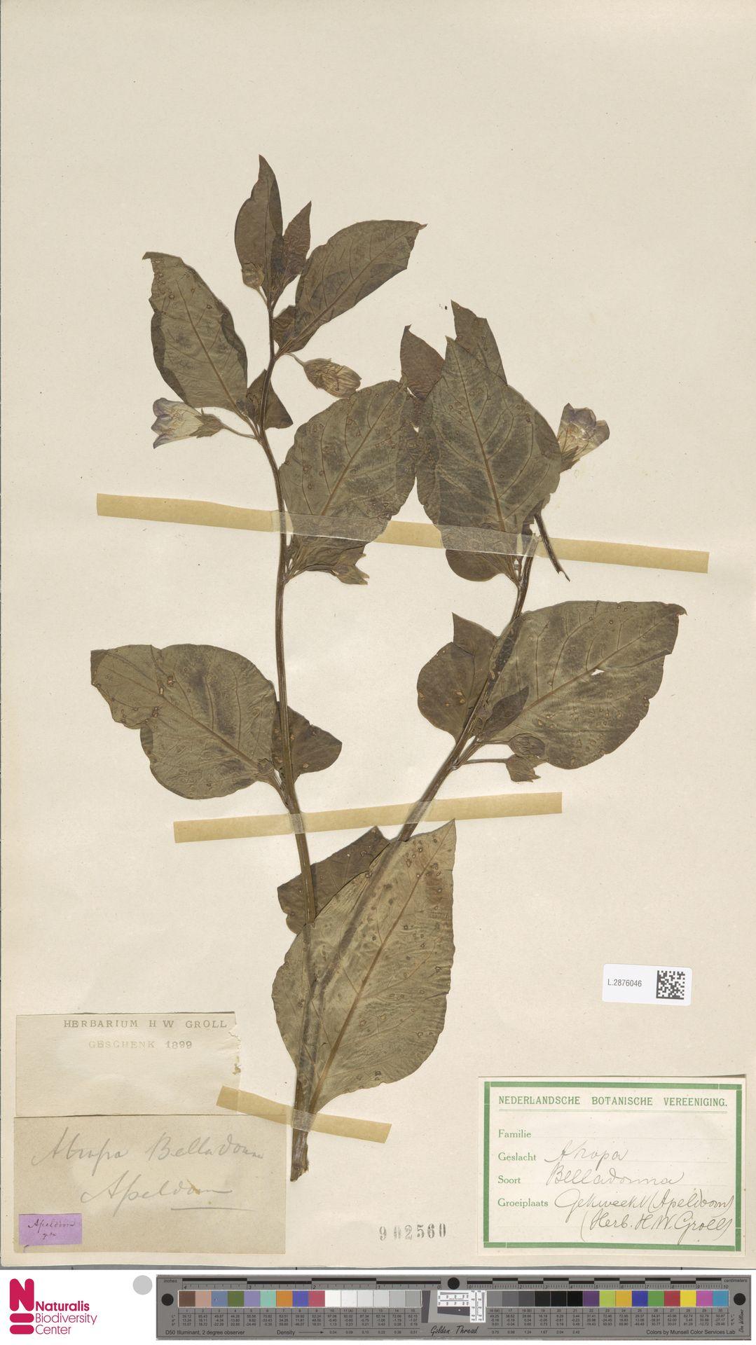 L.2876046 | Atropa belladonna L.