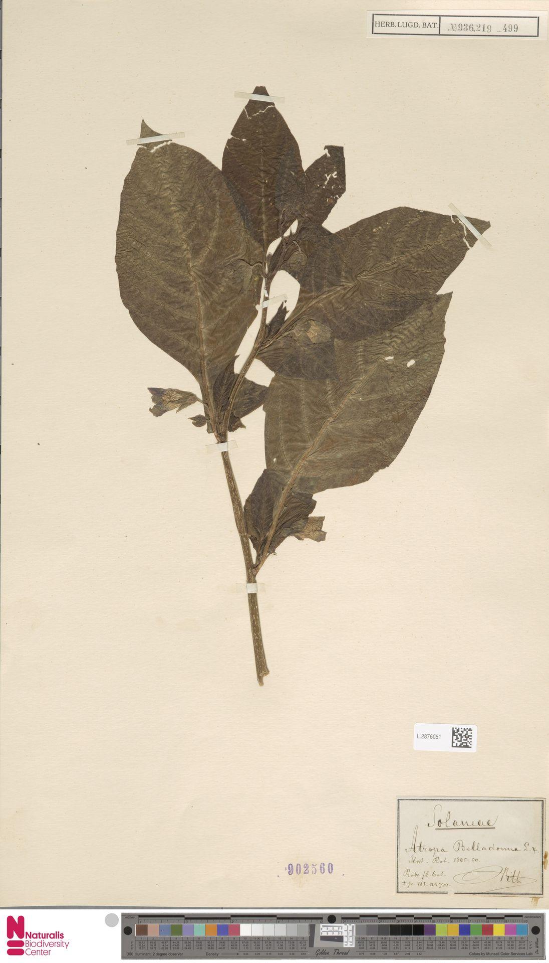 L.2876051 | Atropa belladonna L.