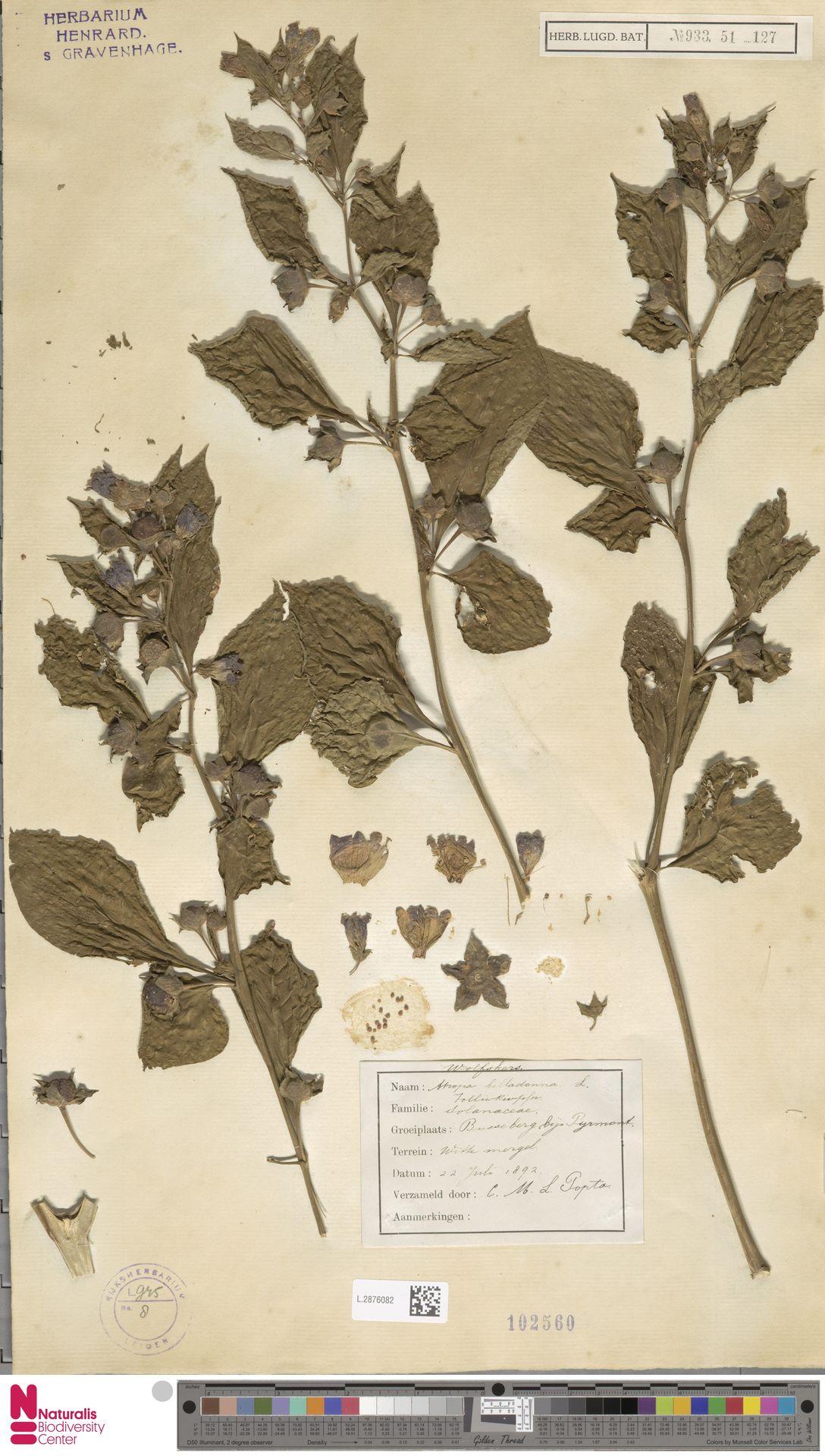 L.2876082 | Atropa belladonna L.