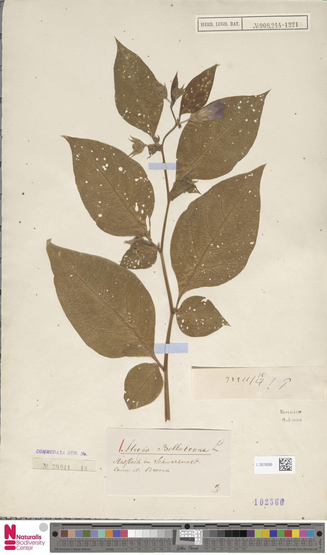 L.2876086 | Atropa belladonna L.