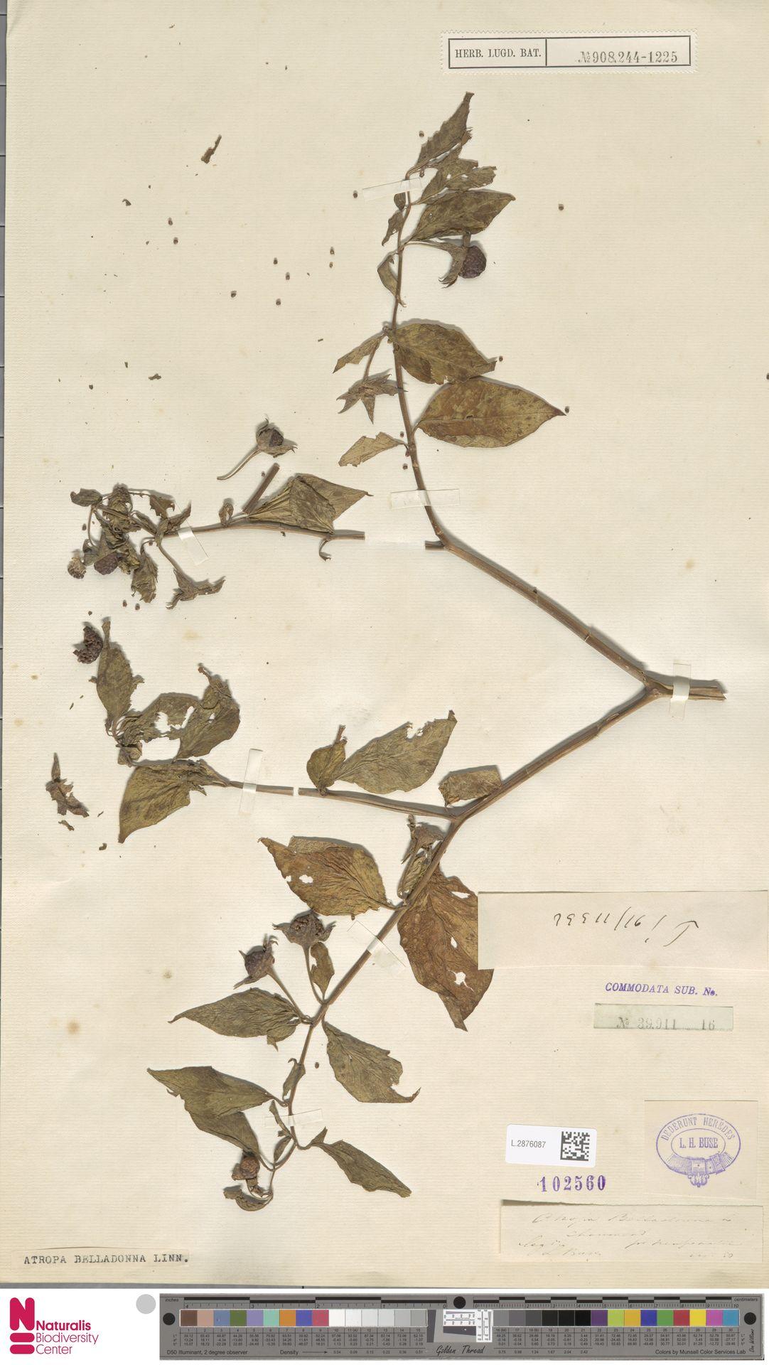 L.2876087 | Atropa belladonna L.