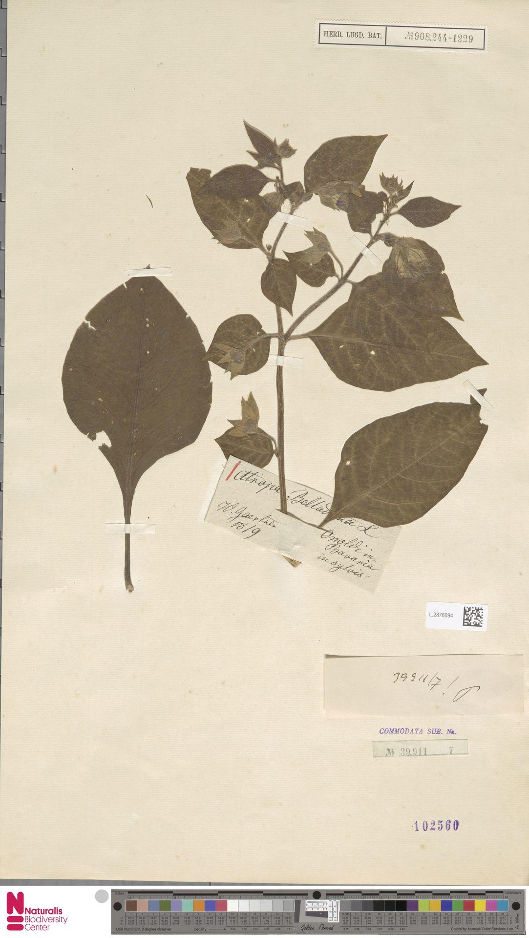 L.2876094   Atropa belladonna L.