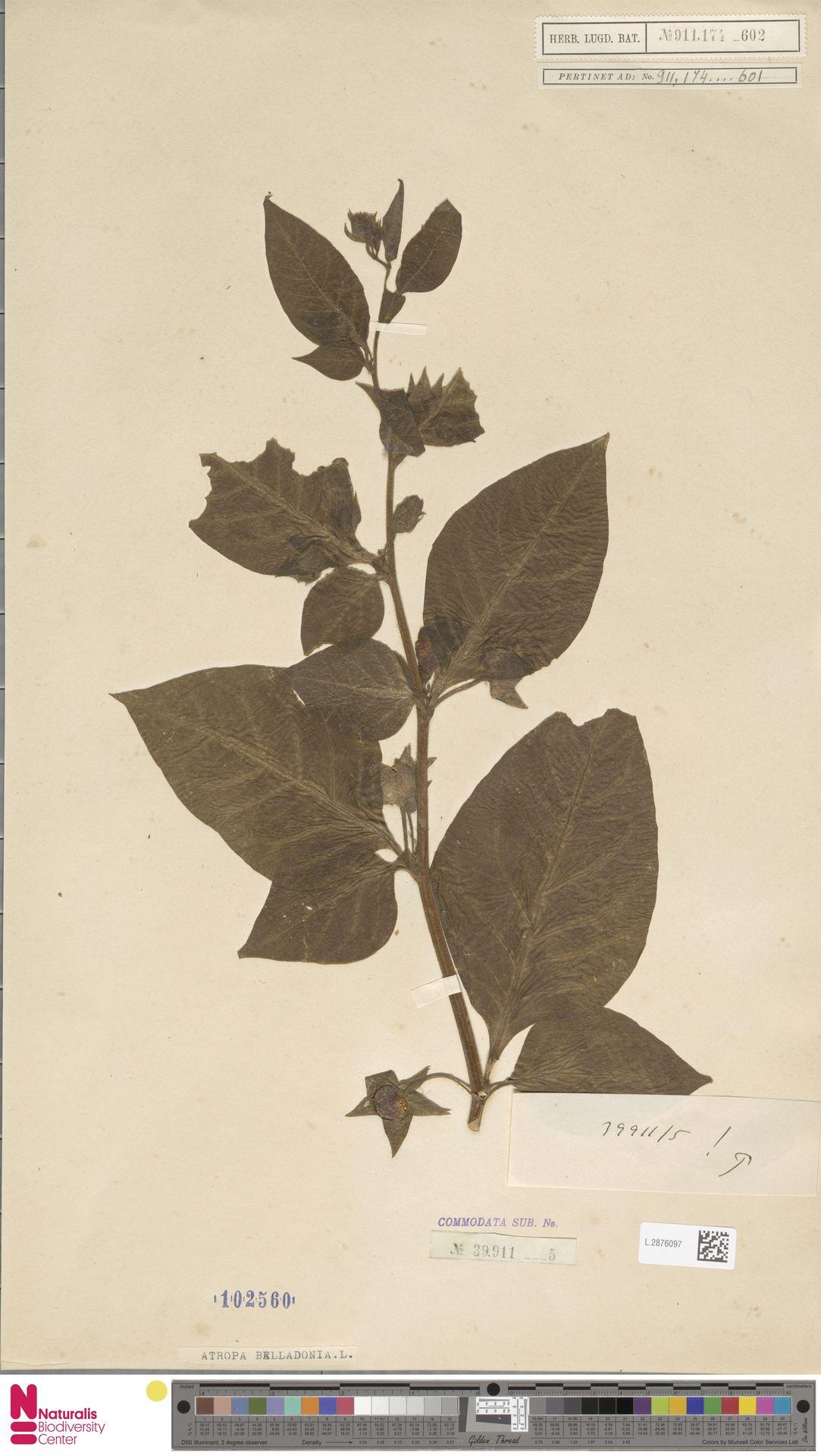 L.2876097 | Atropa belladonna L.