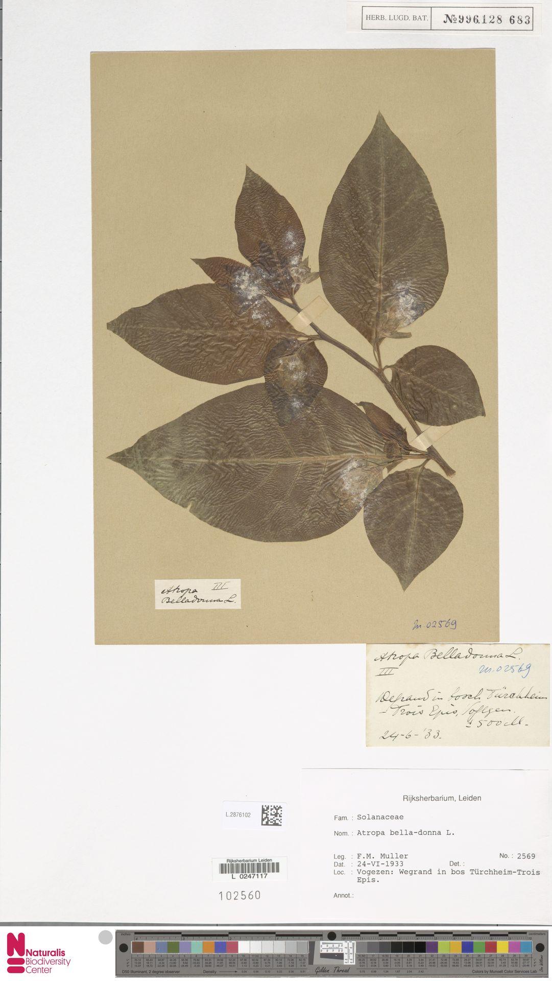 L.2876102 | Atropa belladonna L.