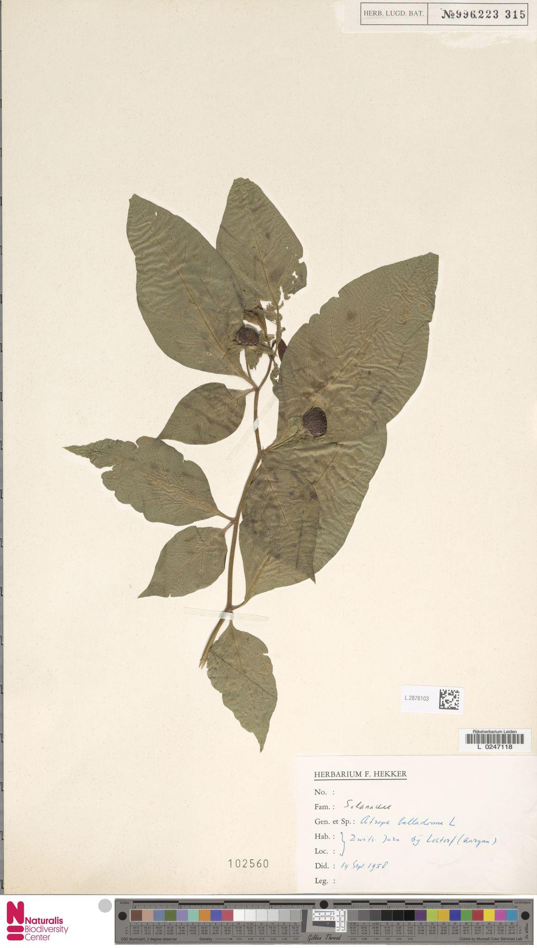 L.2876103   Atropa belladonna L.