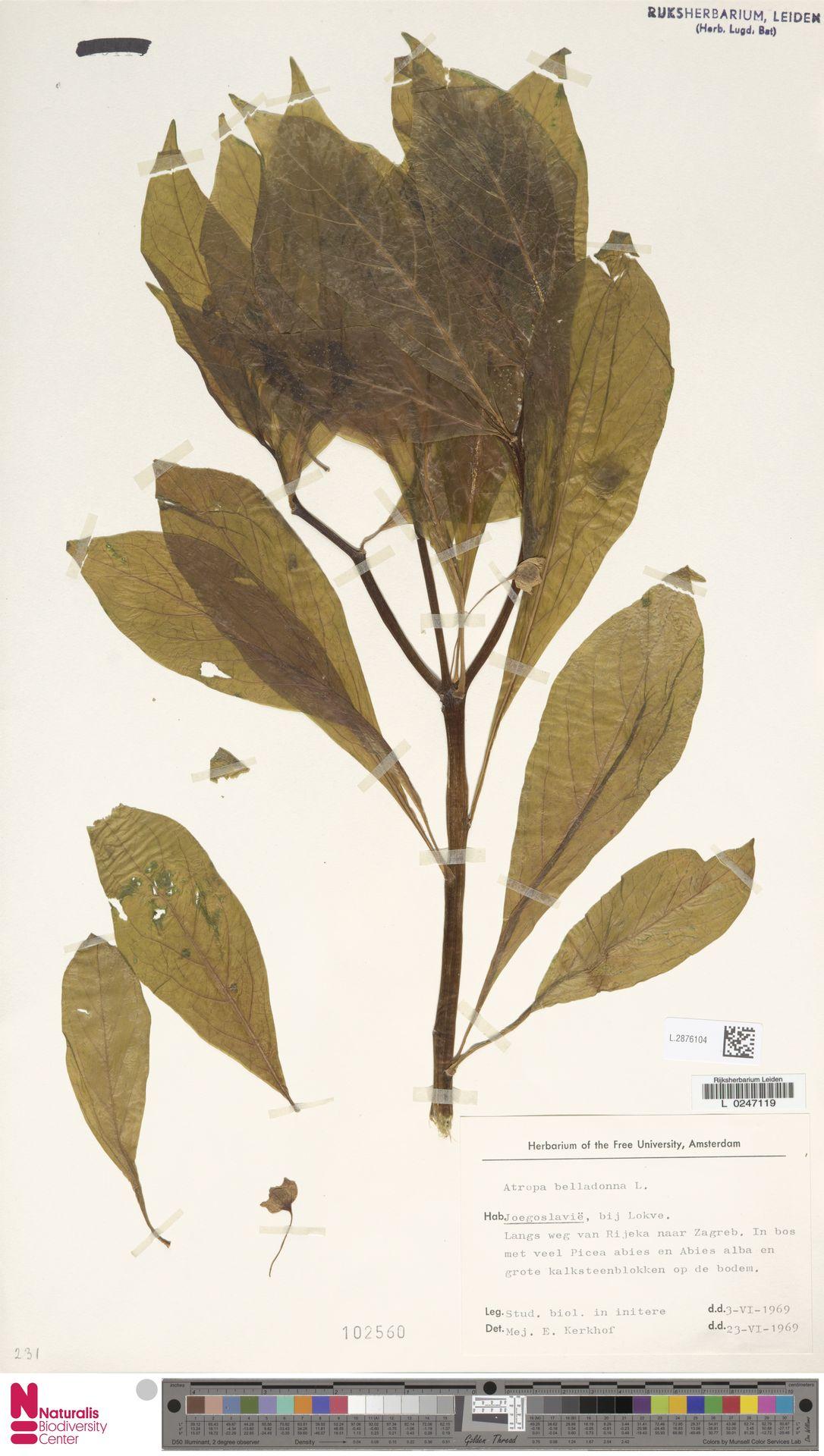 L.2876104   Atropa belladonna L.