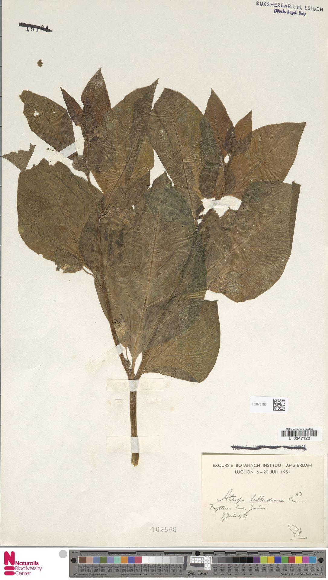 L.2876105 | Atropa belladonna L.