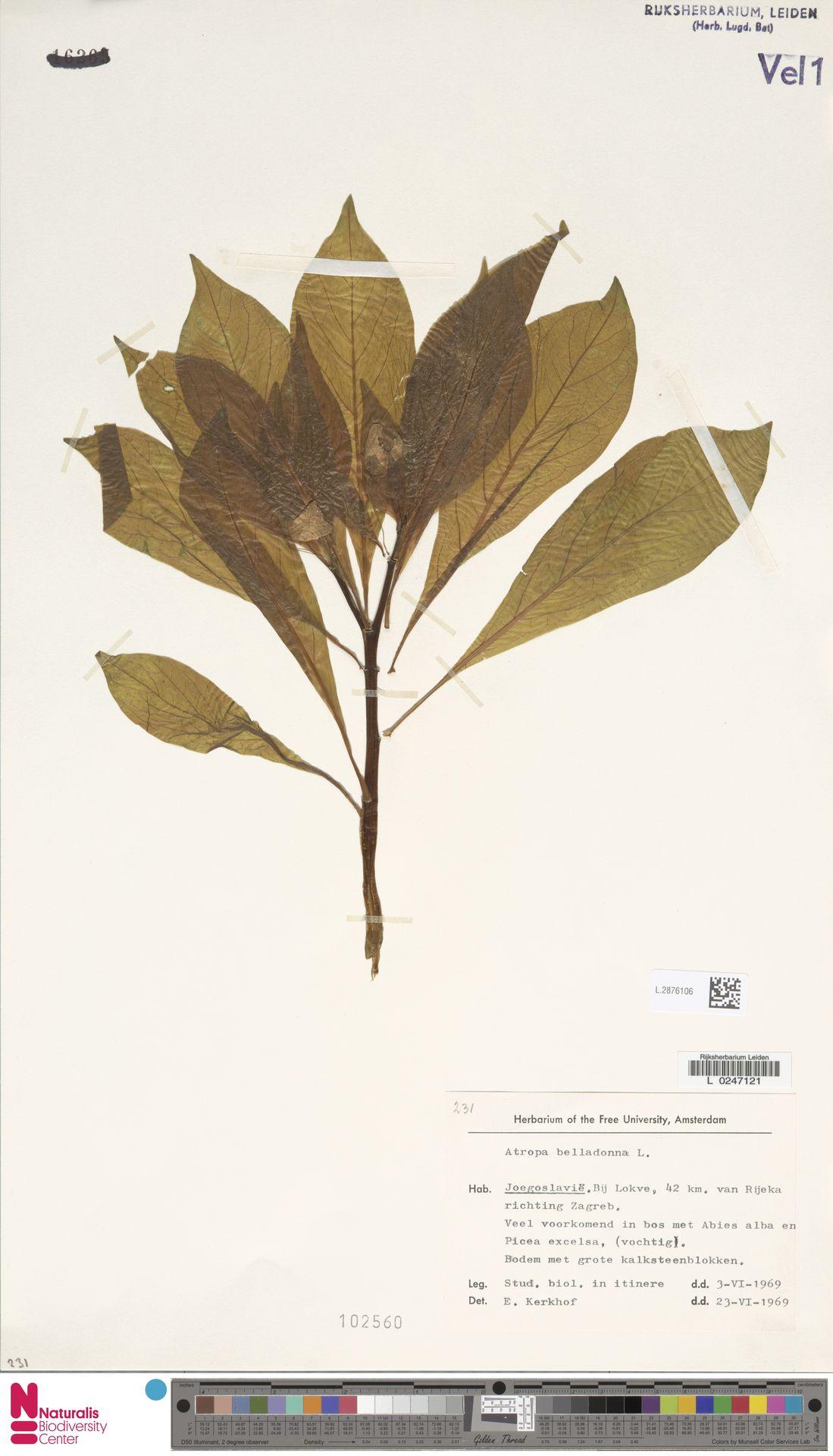 L.2876106 | Atropa belladonna L.
