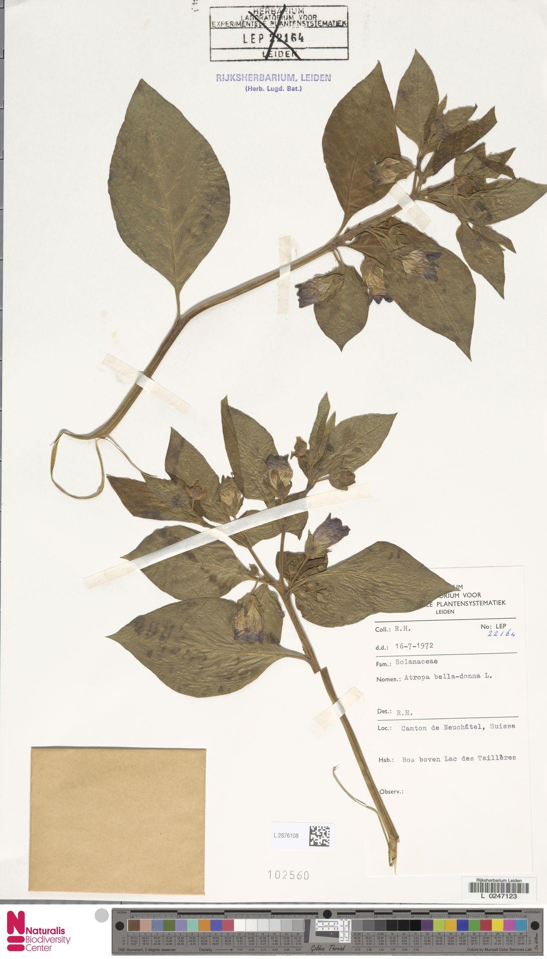 L.2876108 | Atropa belladonna L.