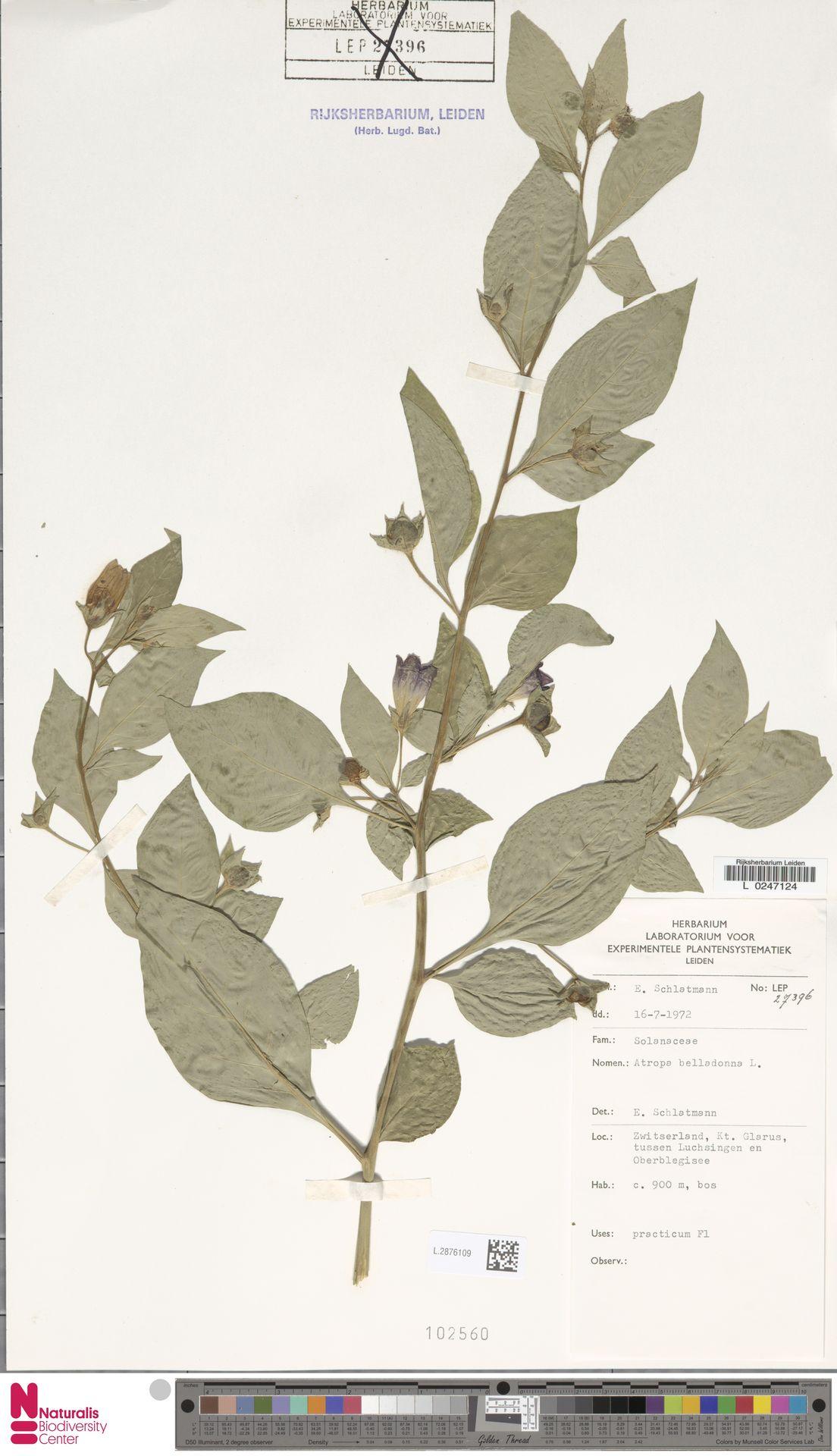 L.2876109   Atropa belladonna L.