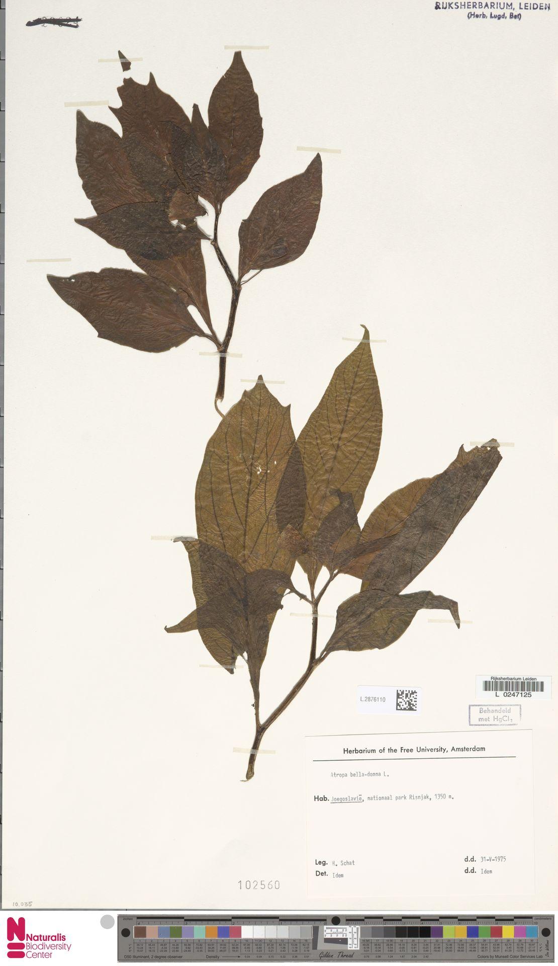 L.2876110 | Atropa belladonna L.