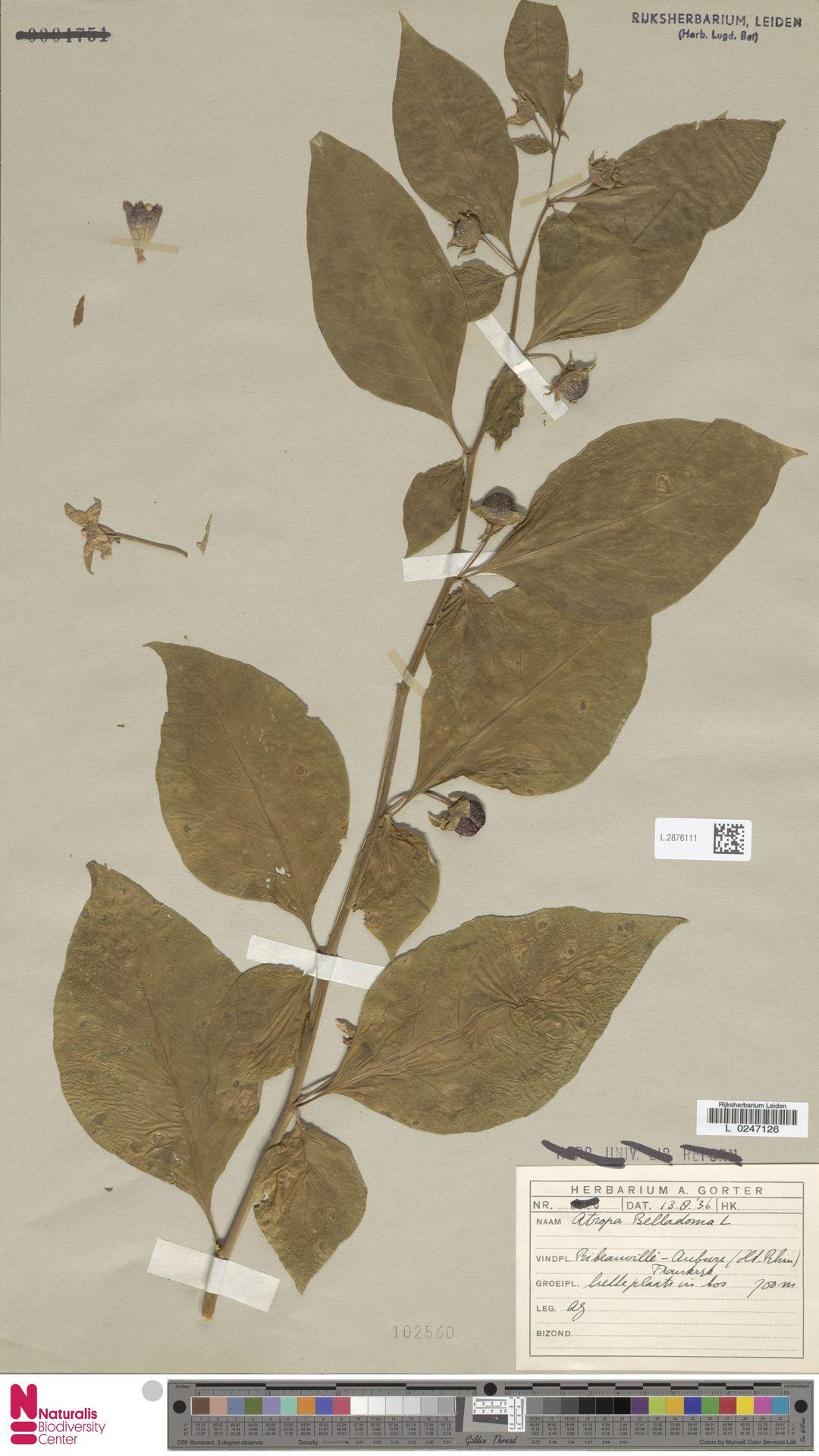 L.2876111 | Atropa belladonna L.
