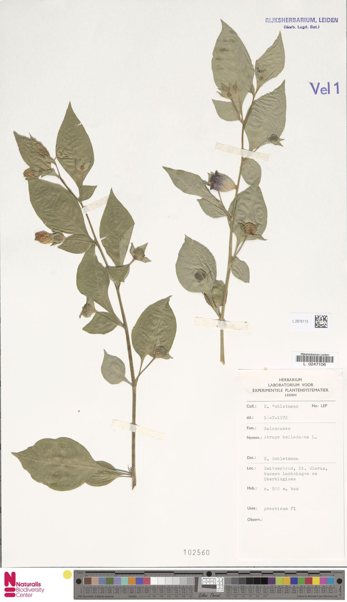 L.2876113 | Atropa belladonna L.