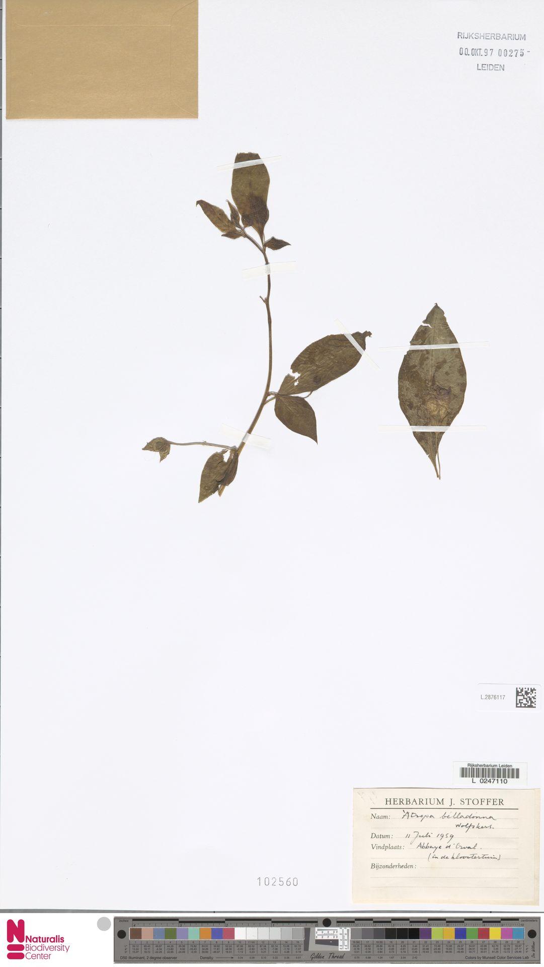 L.2876117 | Atropa belladonna L.