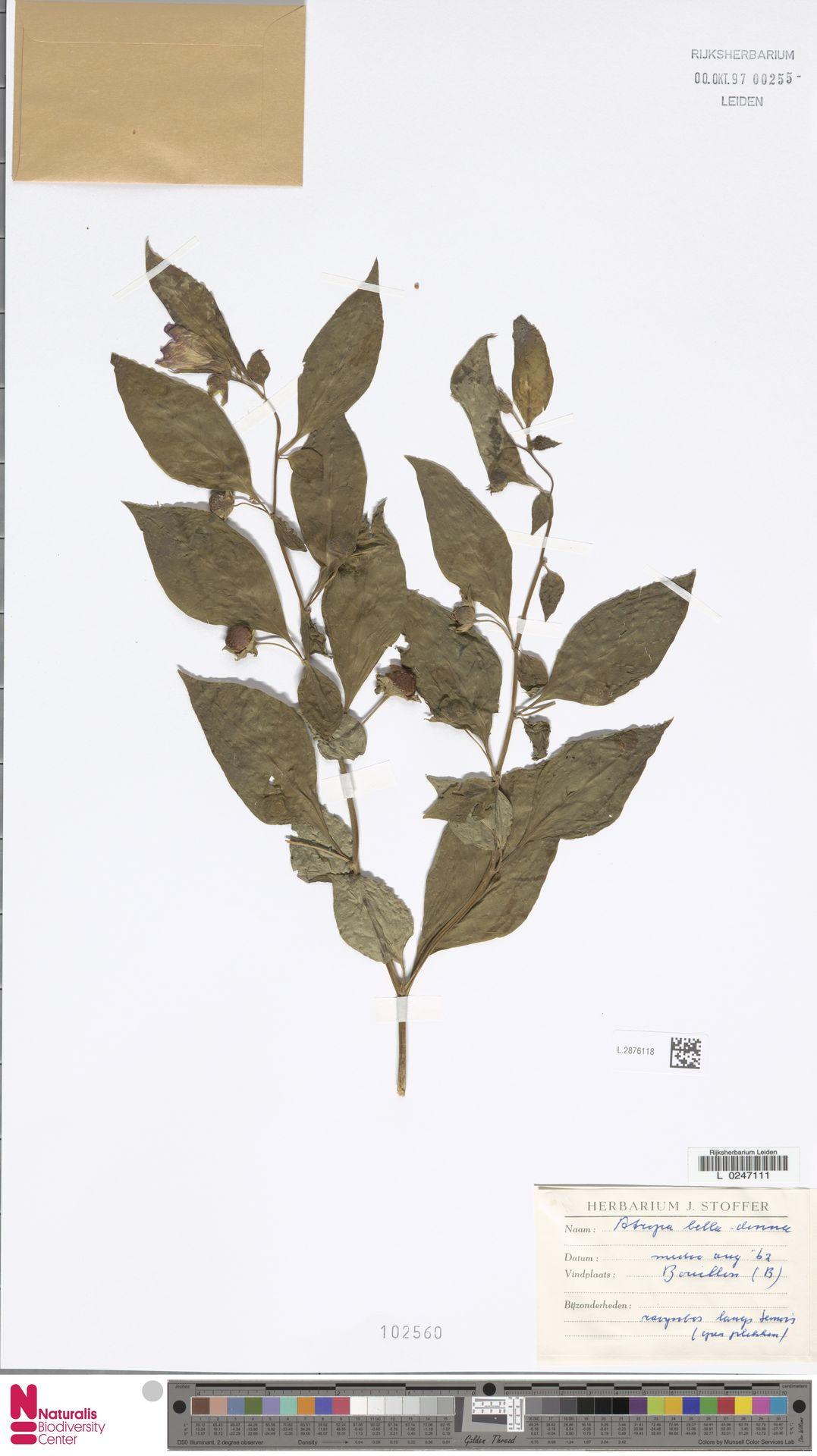 L.2876118 | Atropa belladonna L.