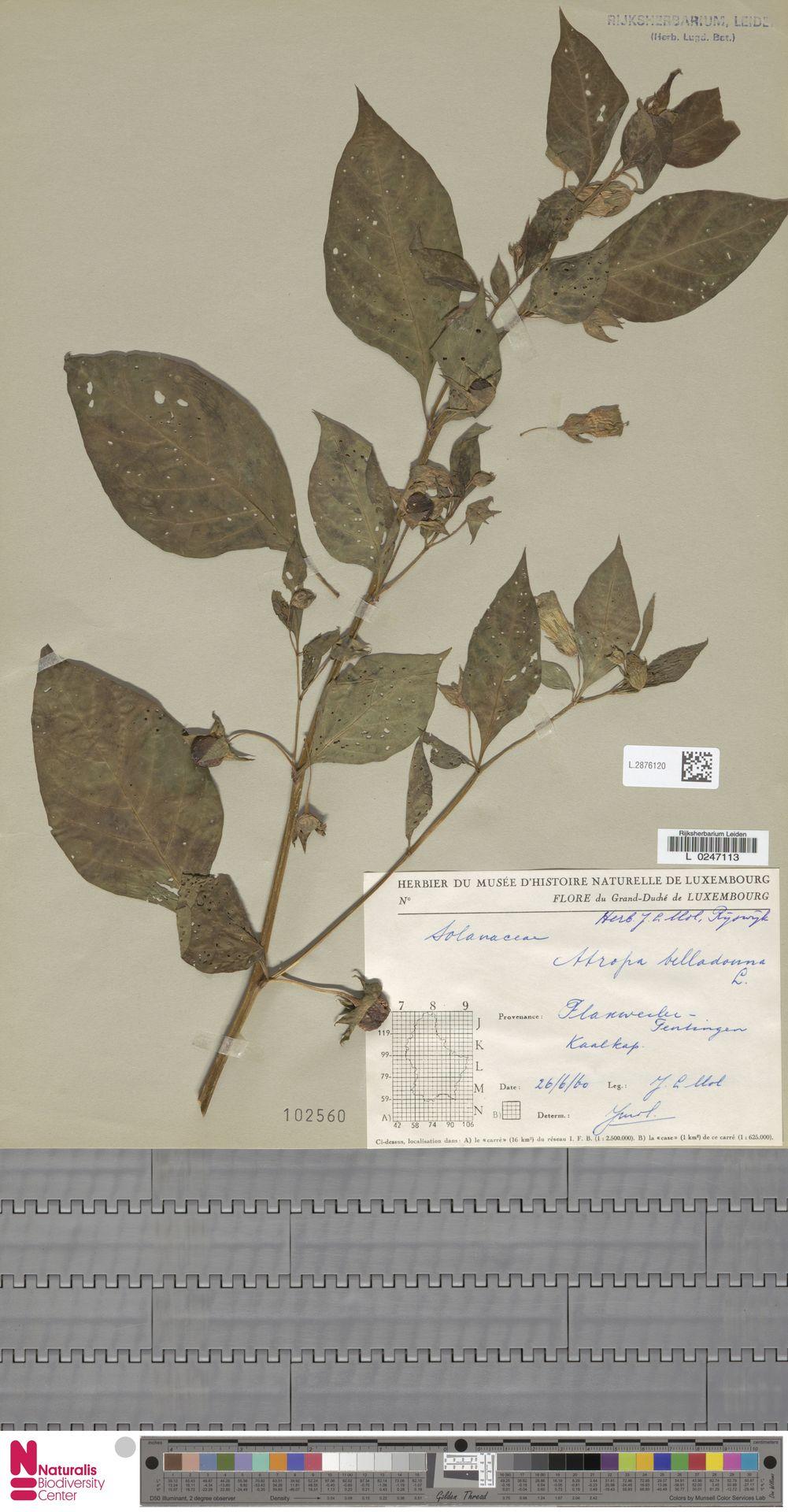 L.2876120 | Atropa belladonna L.