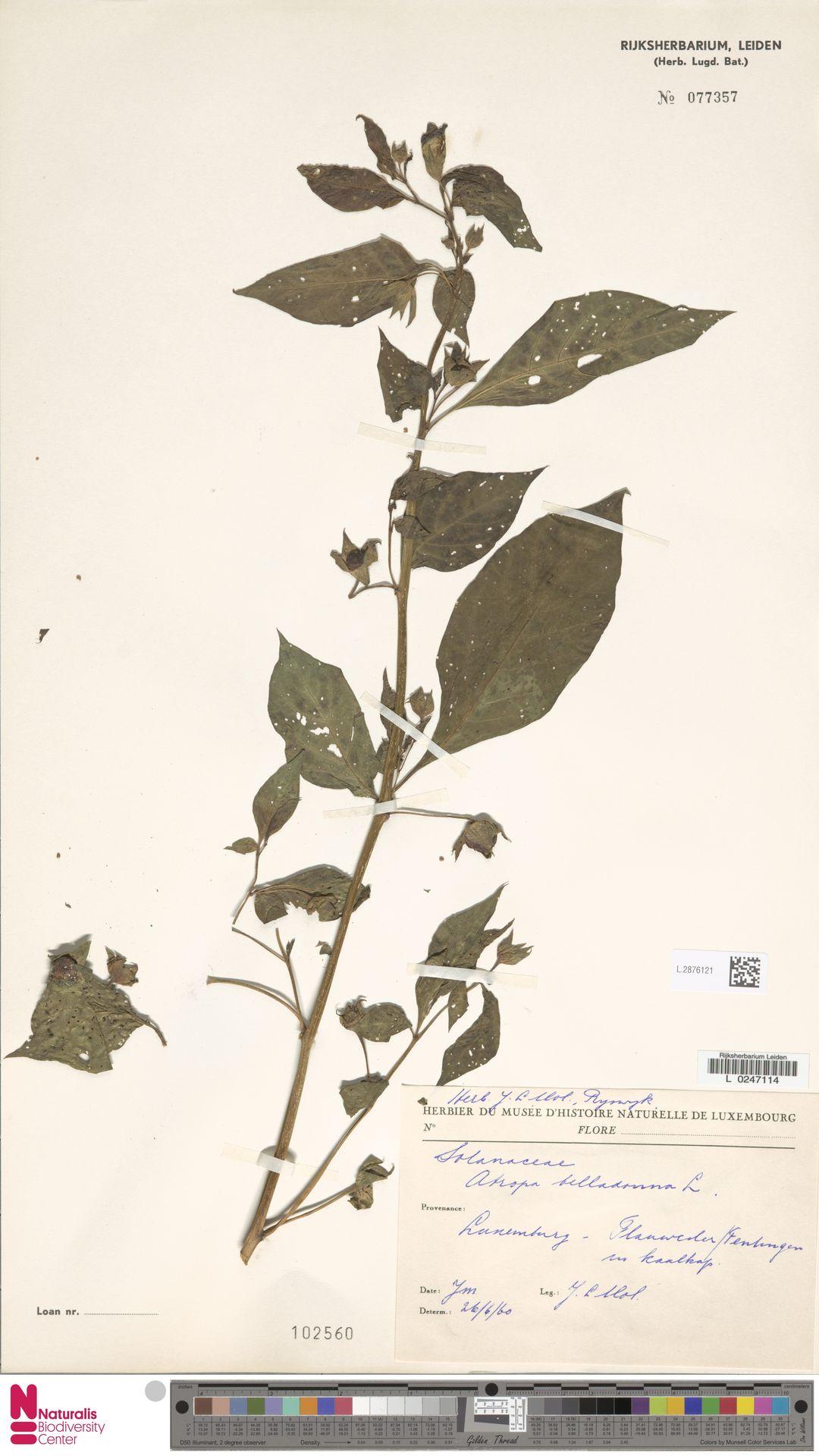 L.2876121   Atropa belladonna L.