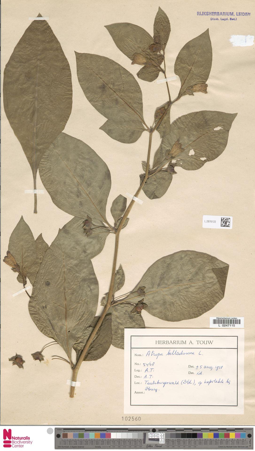 L.2876122 | Atropa belladonna L.