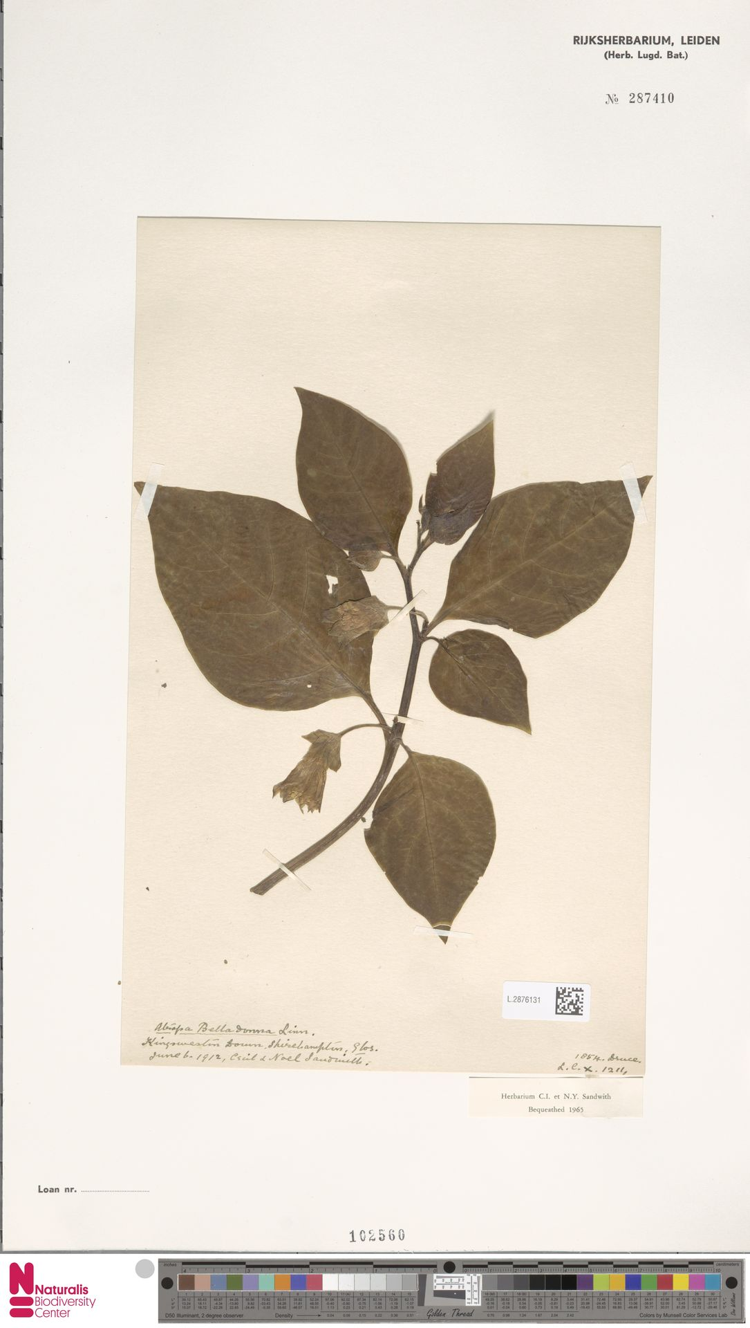 L.2876131   Atropa belladonna L.