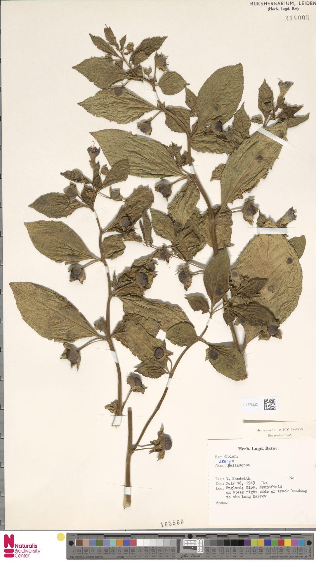 L.2876133 | Atropa belladonna L.