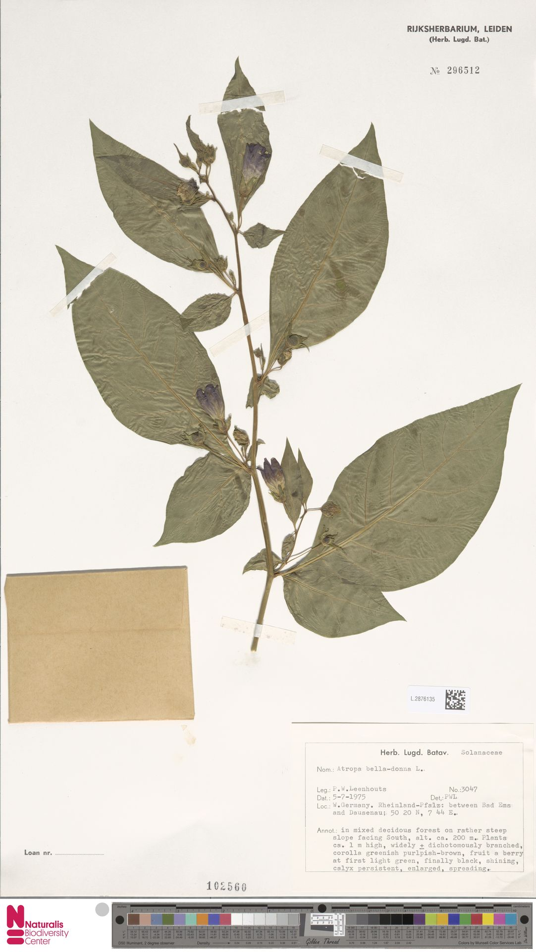L.2876135   Atropa belladonna L.