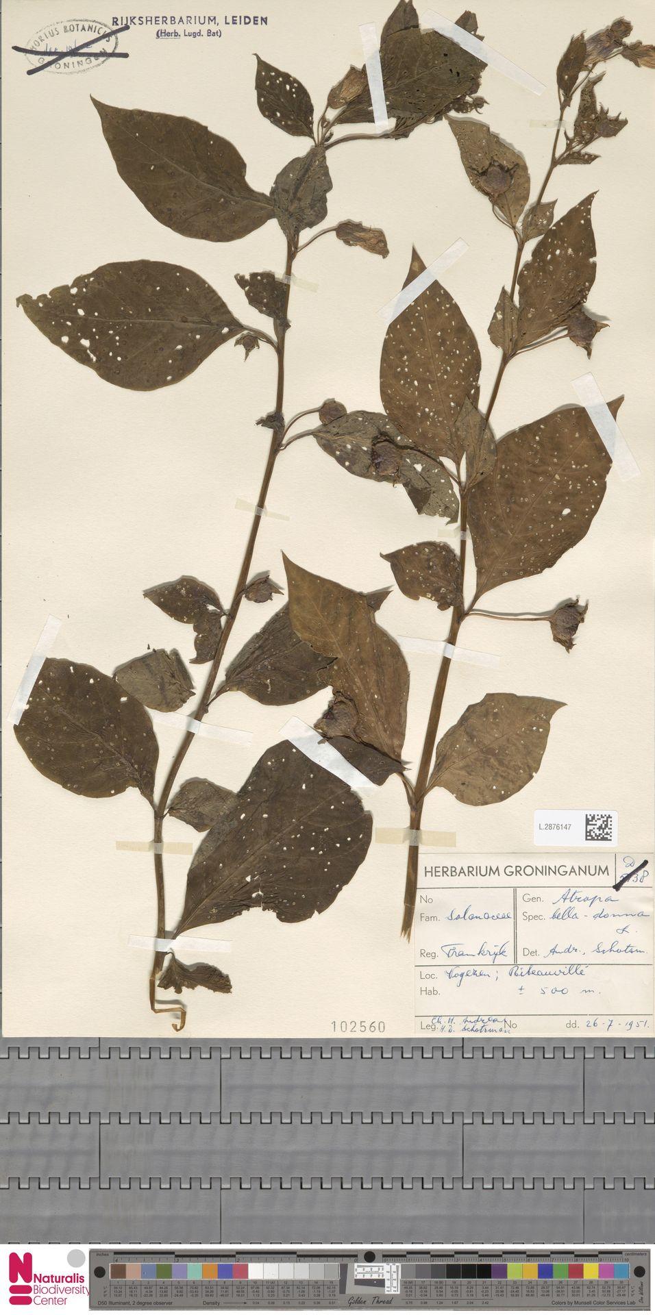 L.2876147 | Atropa belladonna L.