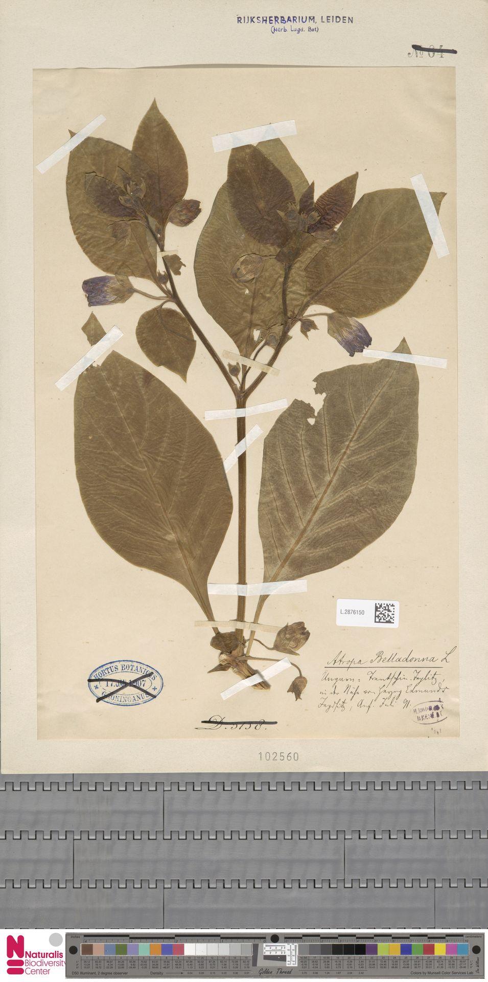 L.2876150   Atropa belladonna L.