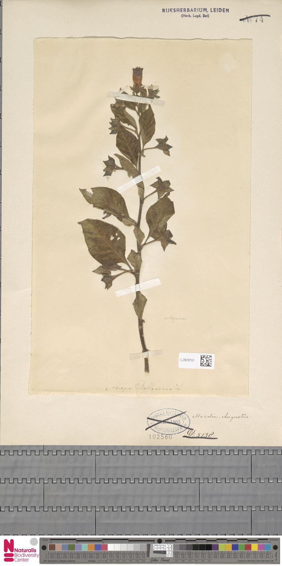 L.2876151 | Atropa belladonna L.