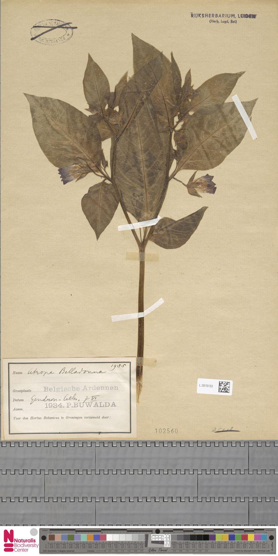 L.2876153 | Atropa belladonna L.
