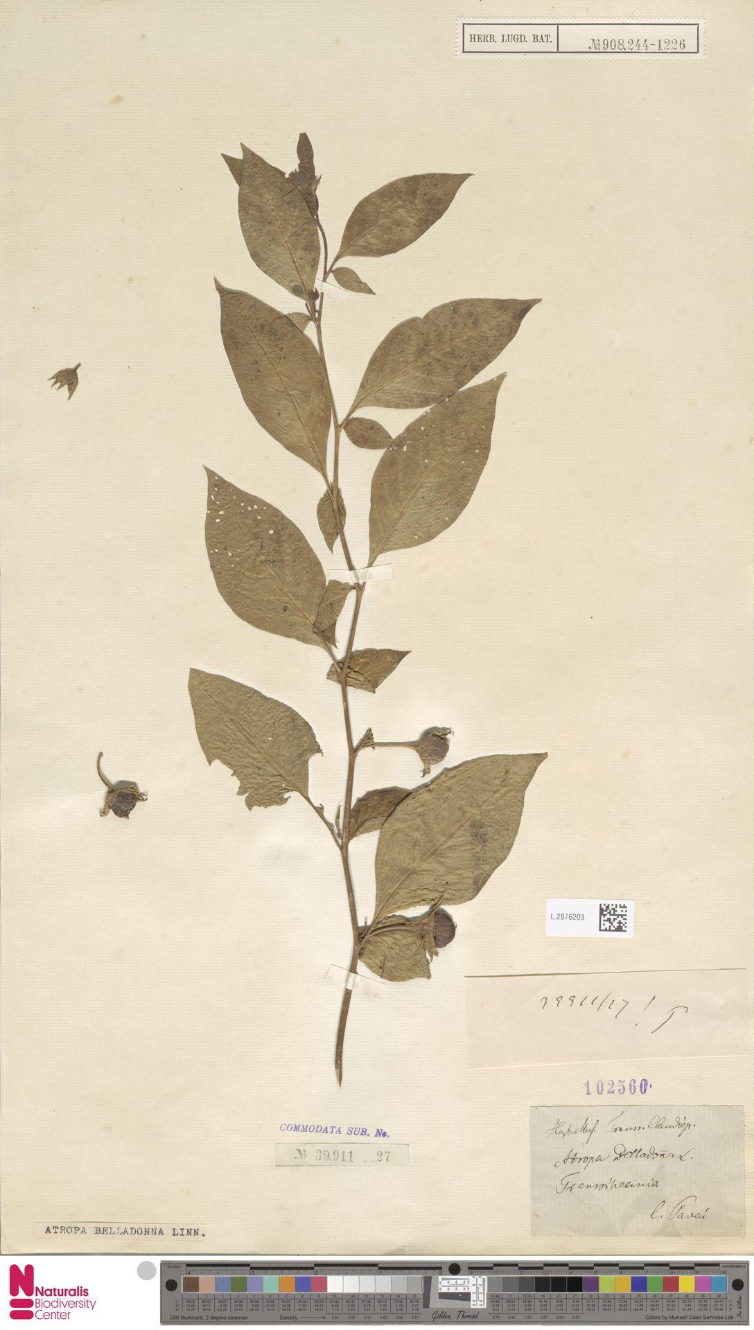 L.2876203 | Atropa belladonna L.