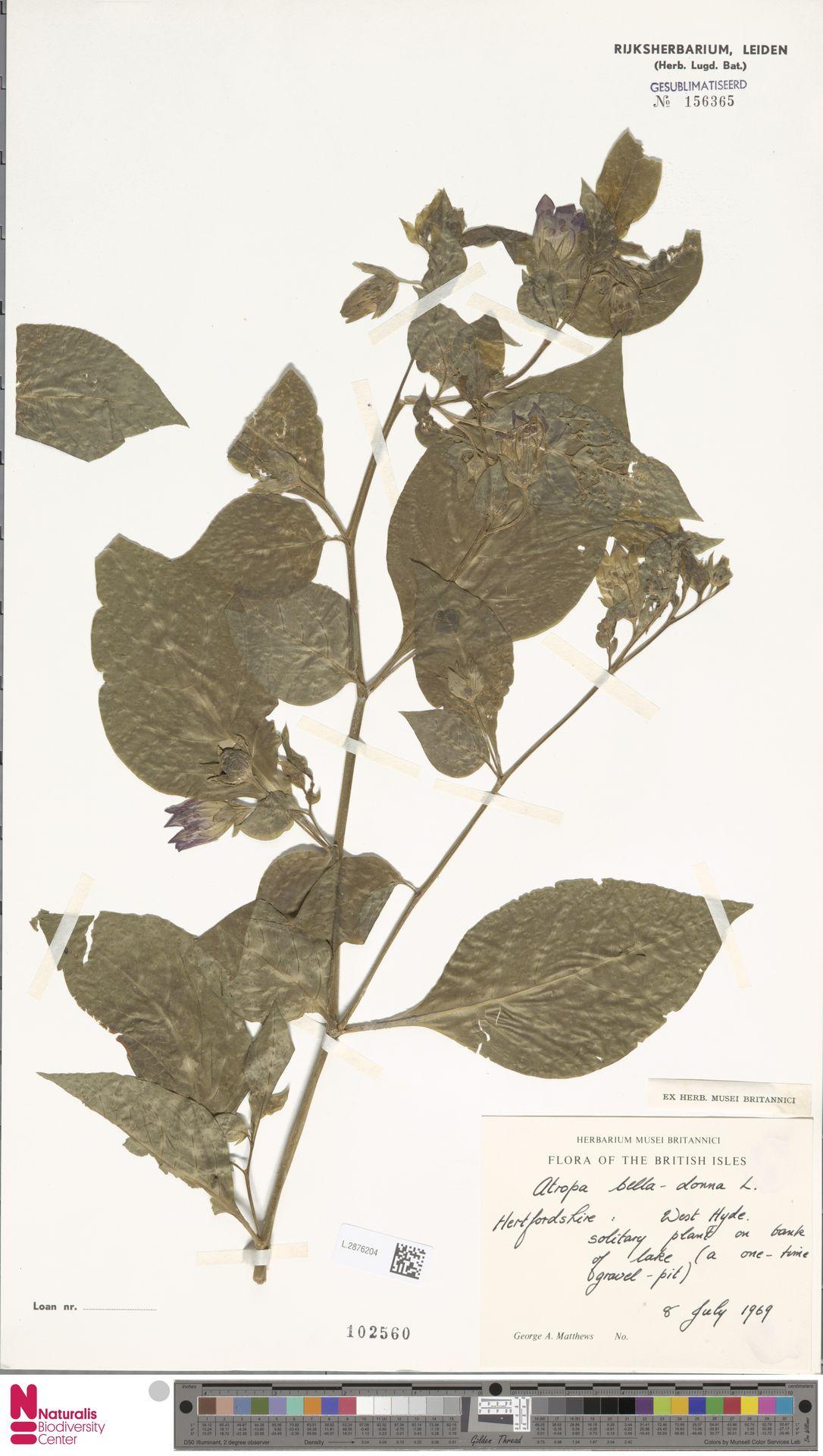 L.2876204 | Atropa belladonna L.