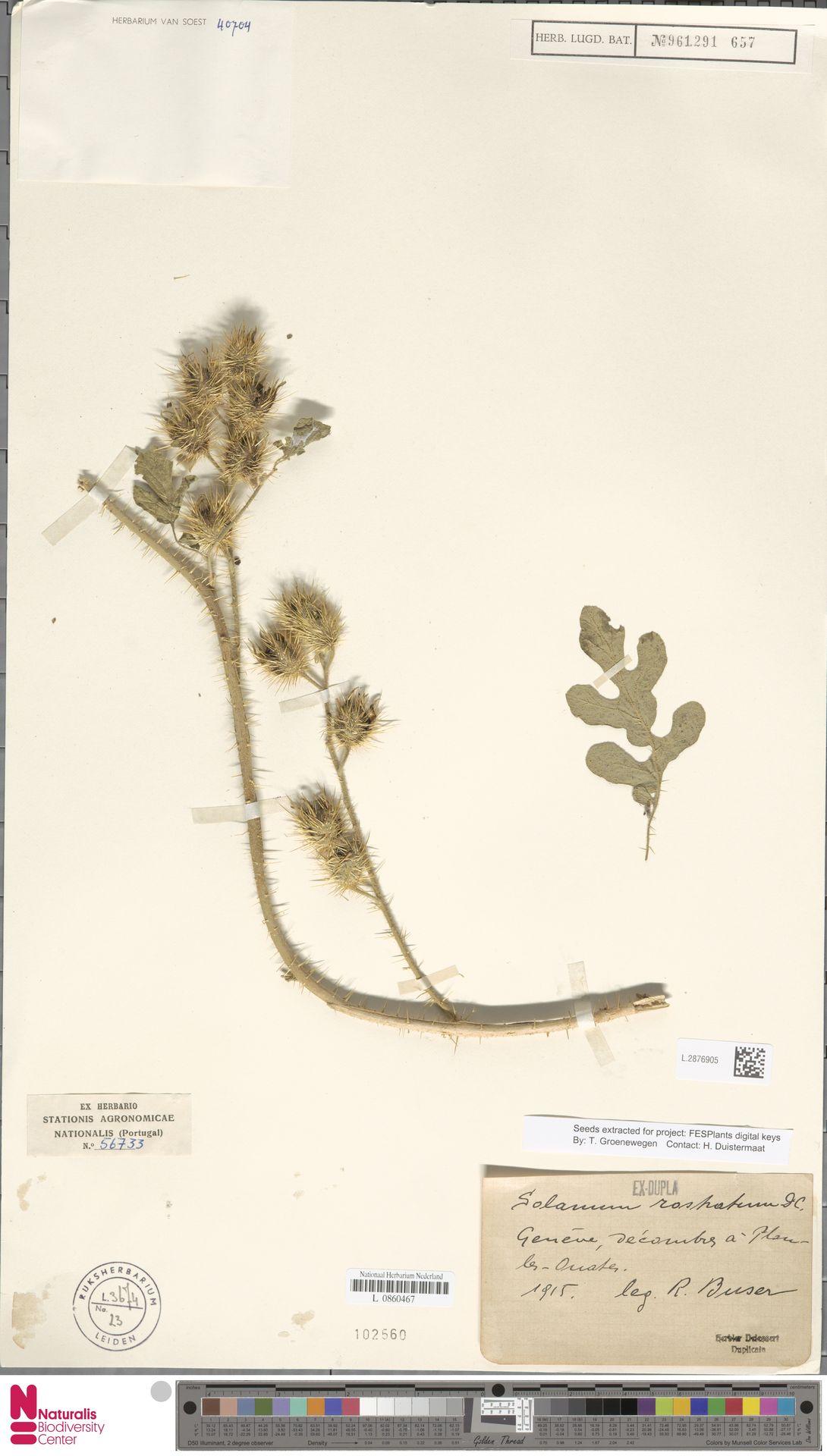 L.2876905   Solanum rostratum Dunal