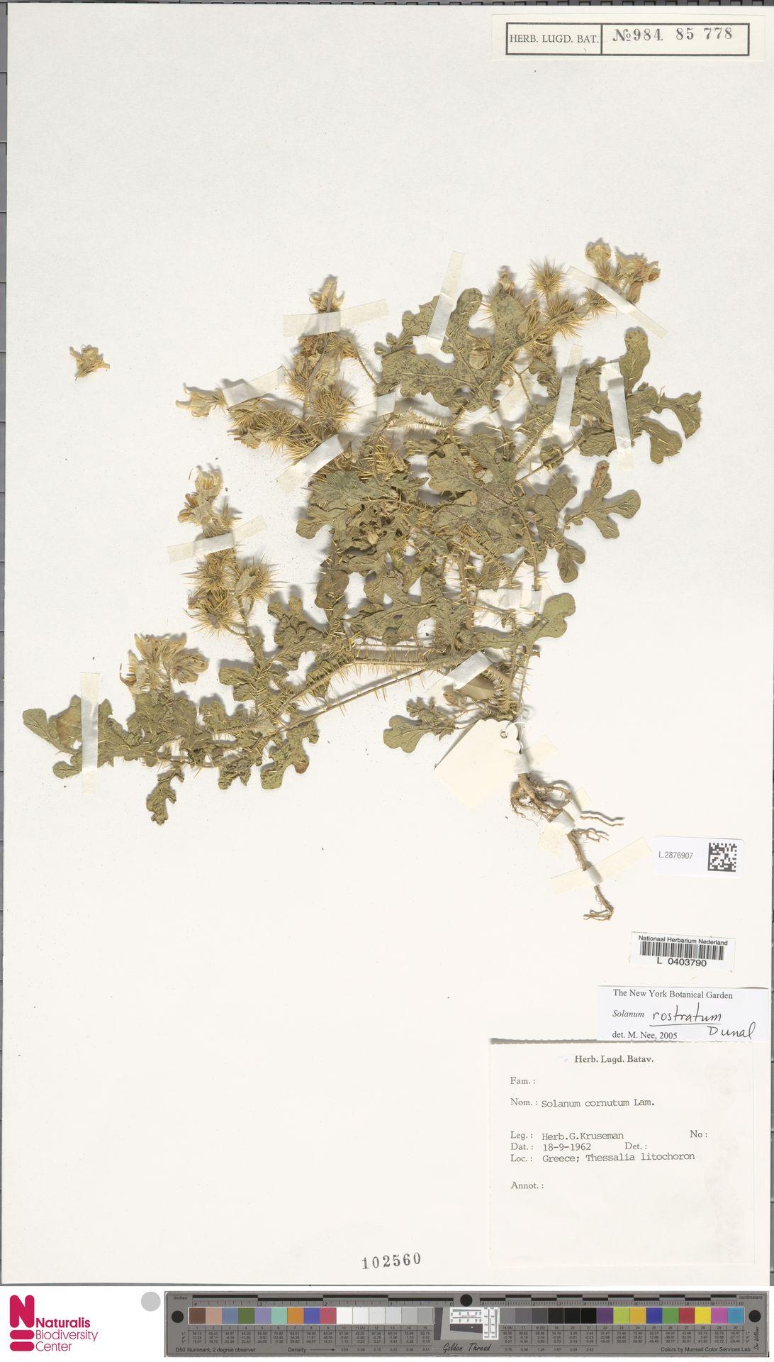 L.2876907 | Solanum rostratum Dunal