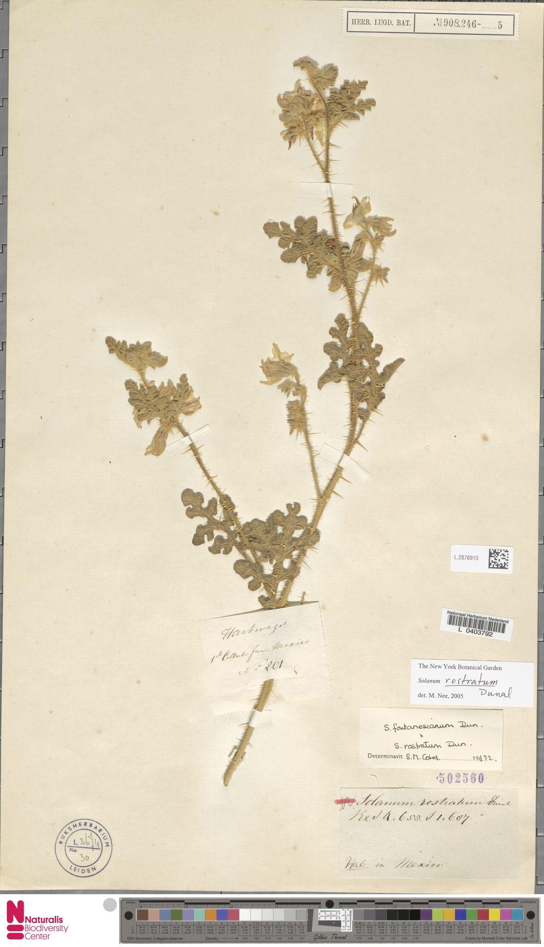 L.2876910 | Solanum rostratum Dunal