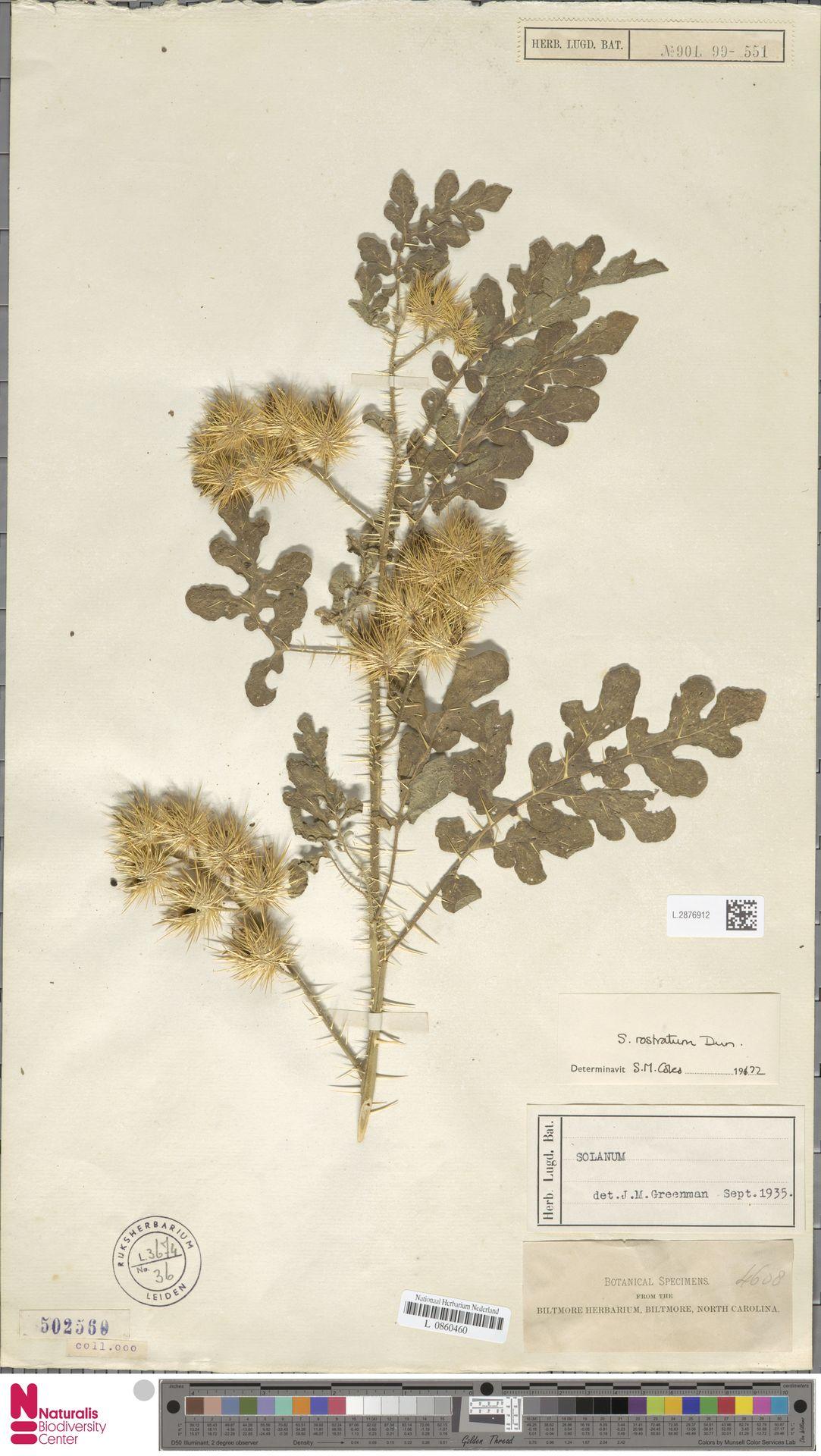 L.2876912 | Solanum rostratum Dunal