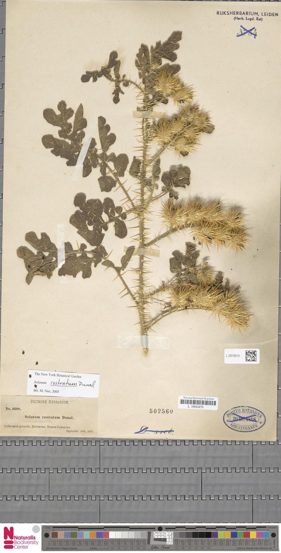 L.2876916   Solanum rostratum Dunal
