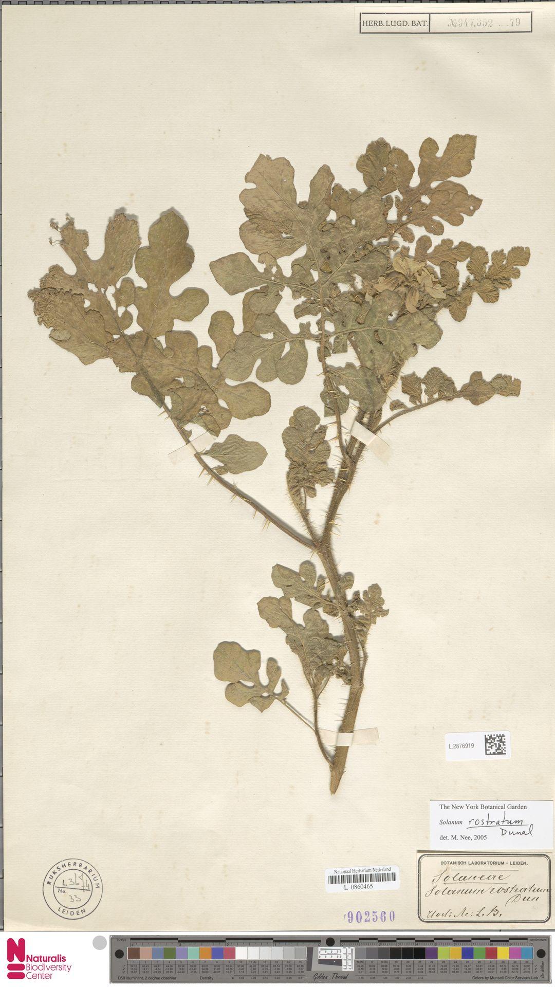 L.2876919 | Solanum rostratum Dunal