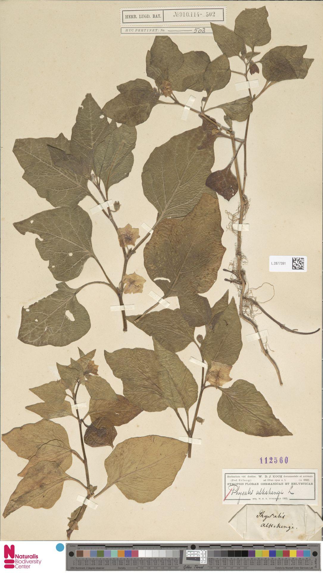L.2877391 | Physalis alkekengi L.
