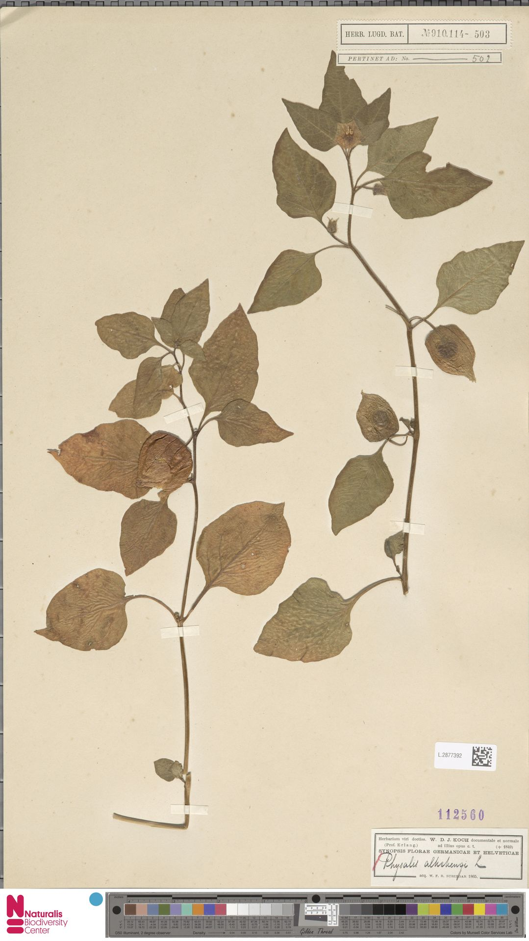 L.2877392 | Physalis alkekengi L.