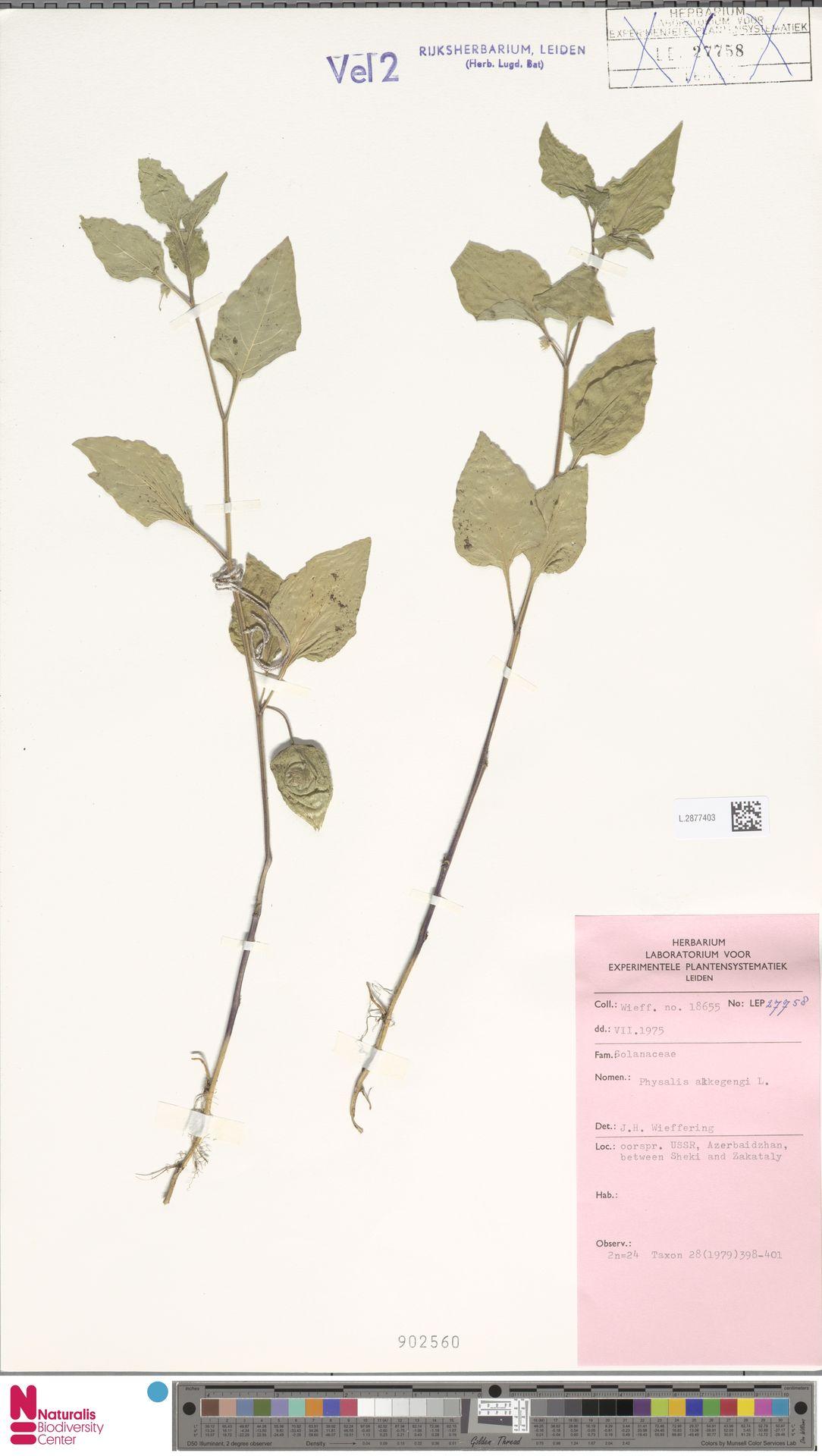 L.2877403   Physalis alkekengi L.