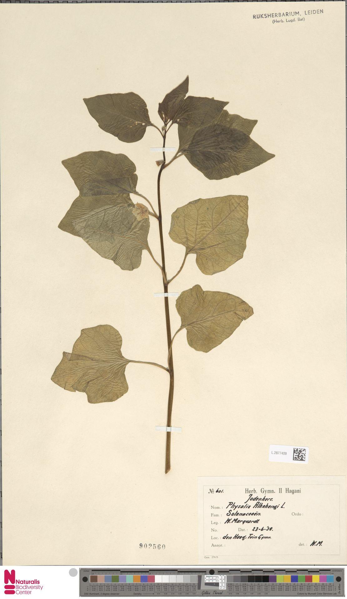 L.2877409 | Physalis alkekengi L.