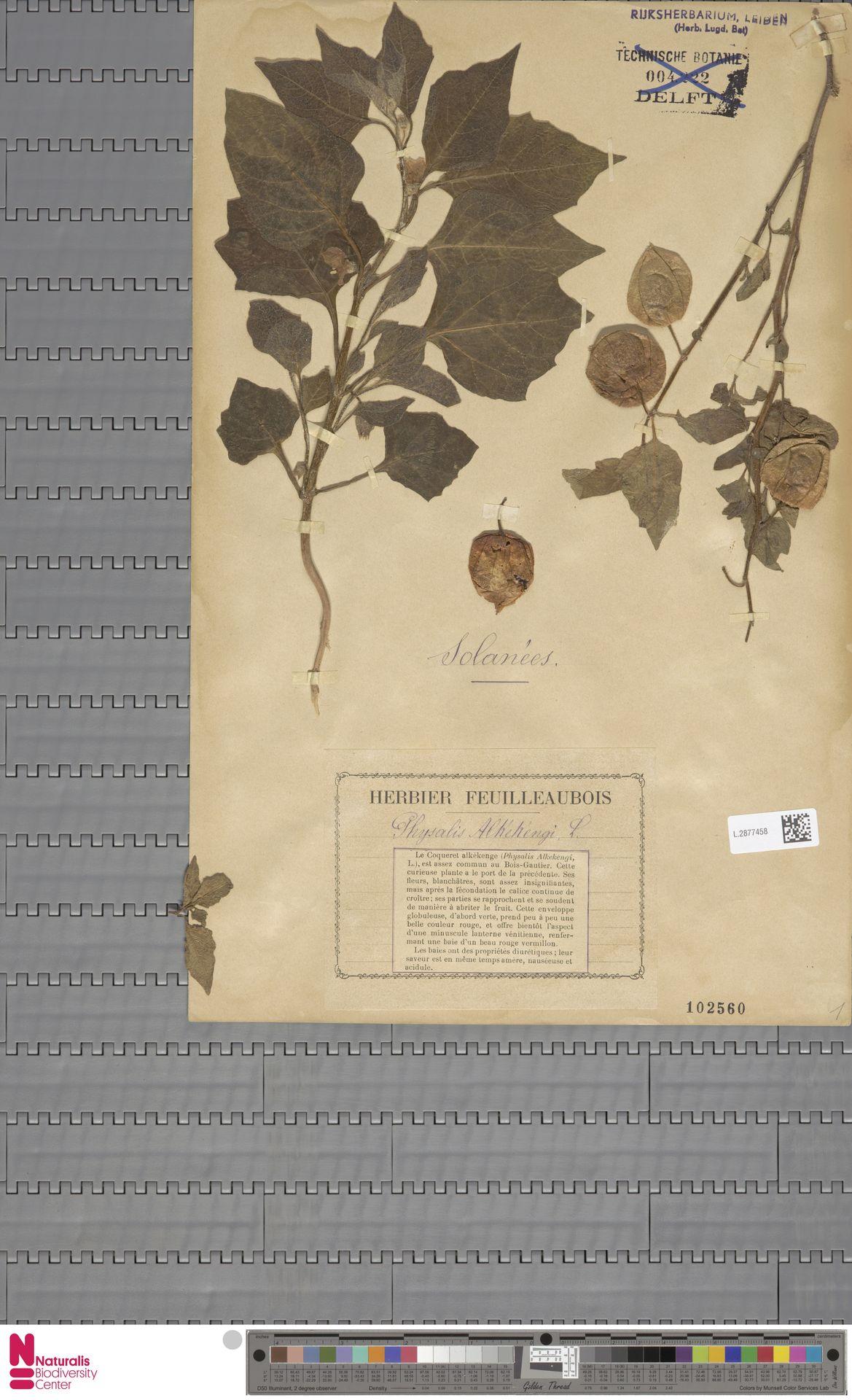 L.2877458 | Physalis alkekengi L.