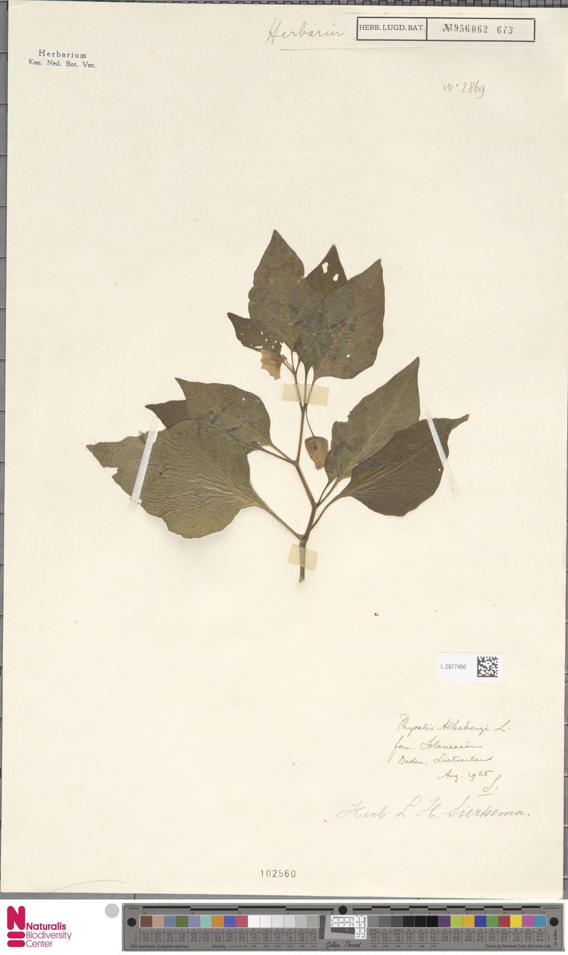 L.2877466 | Physalis alkekengi L.