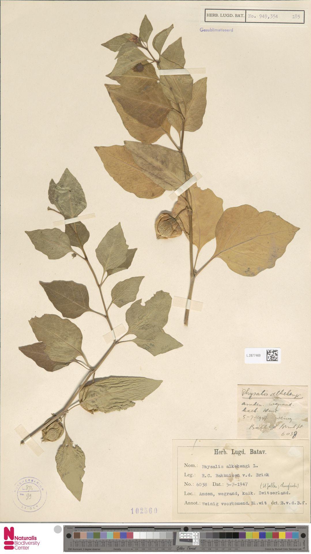 L.2877469 | Physalis alkekengi L.