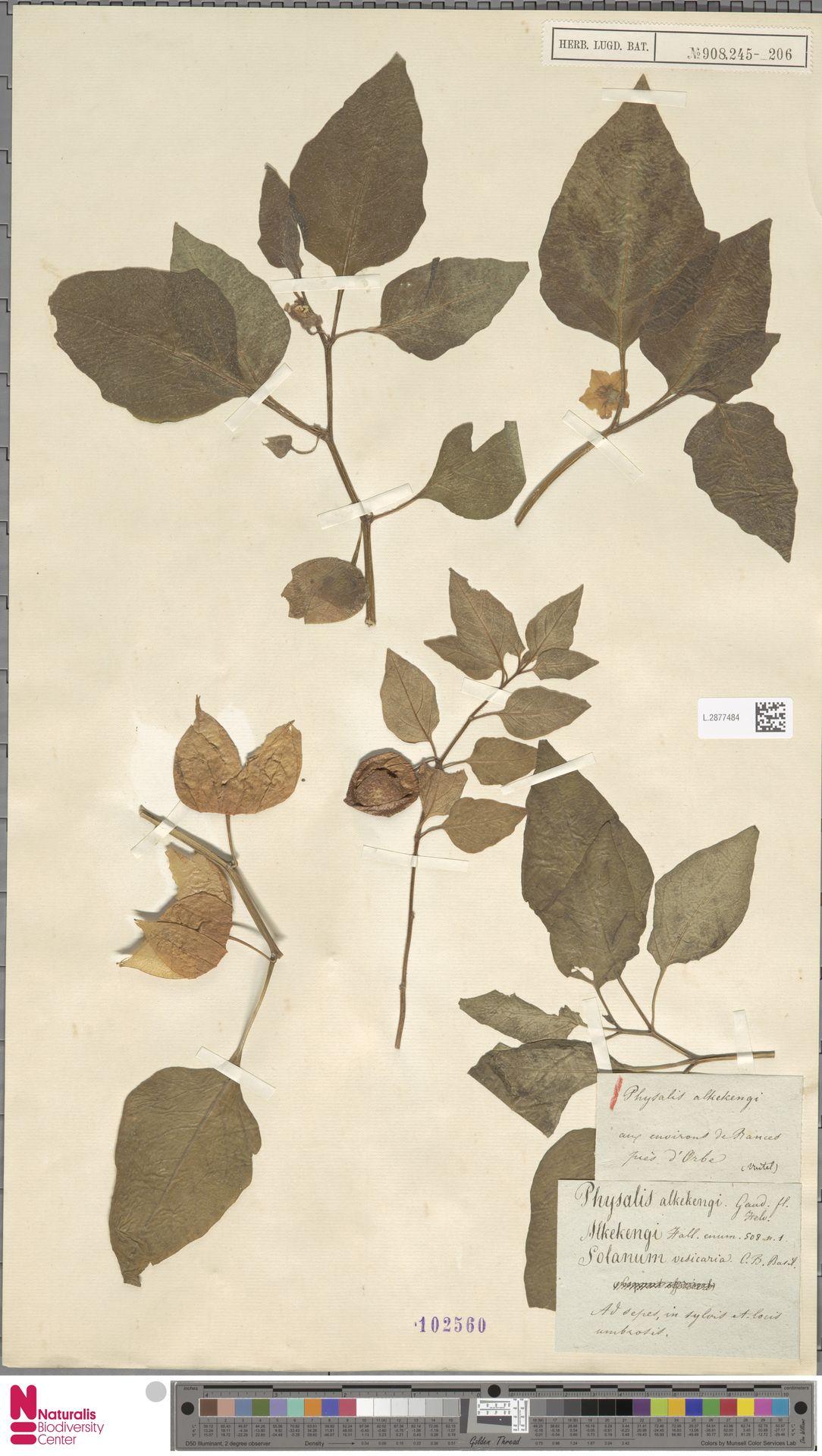 L.2877484 | Physalis alkekengi L.