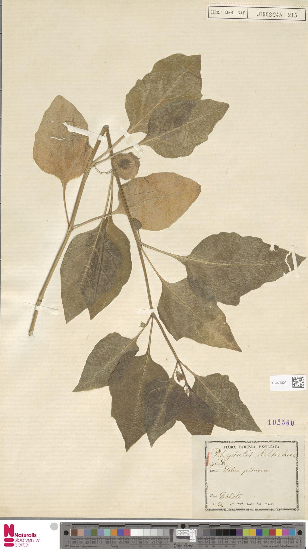 L.2877500   Physalis alkekengi L.