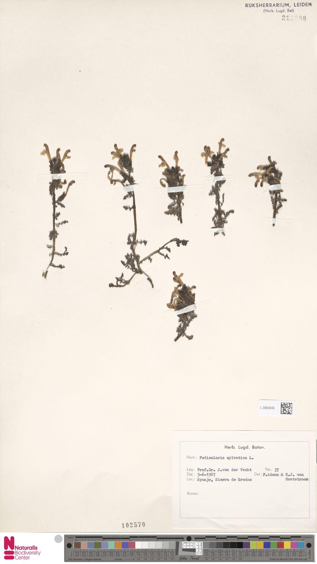 L.2884846 | Pedicularis sylvatica L.