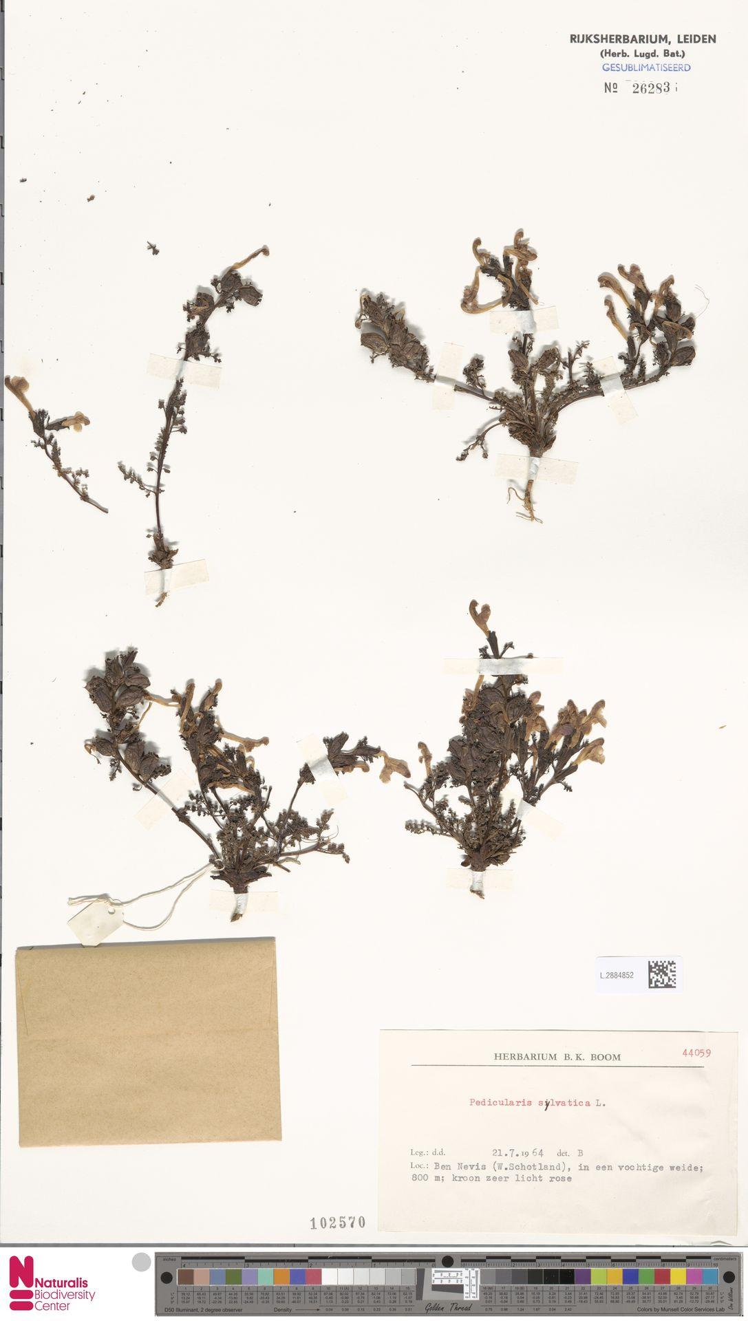 L.2884852   Pedicularis sylvatica L.