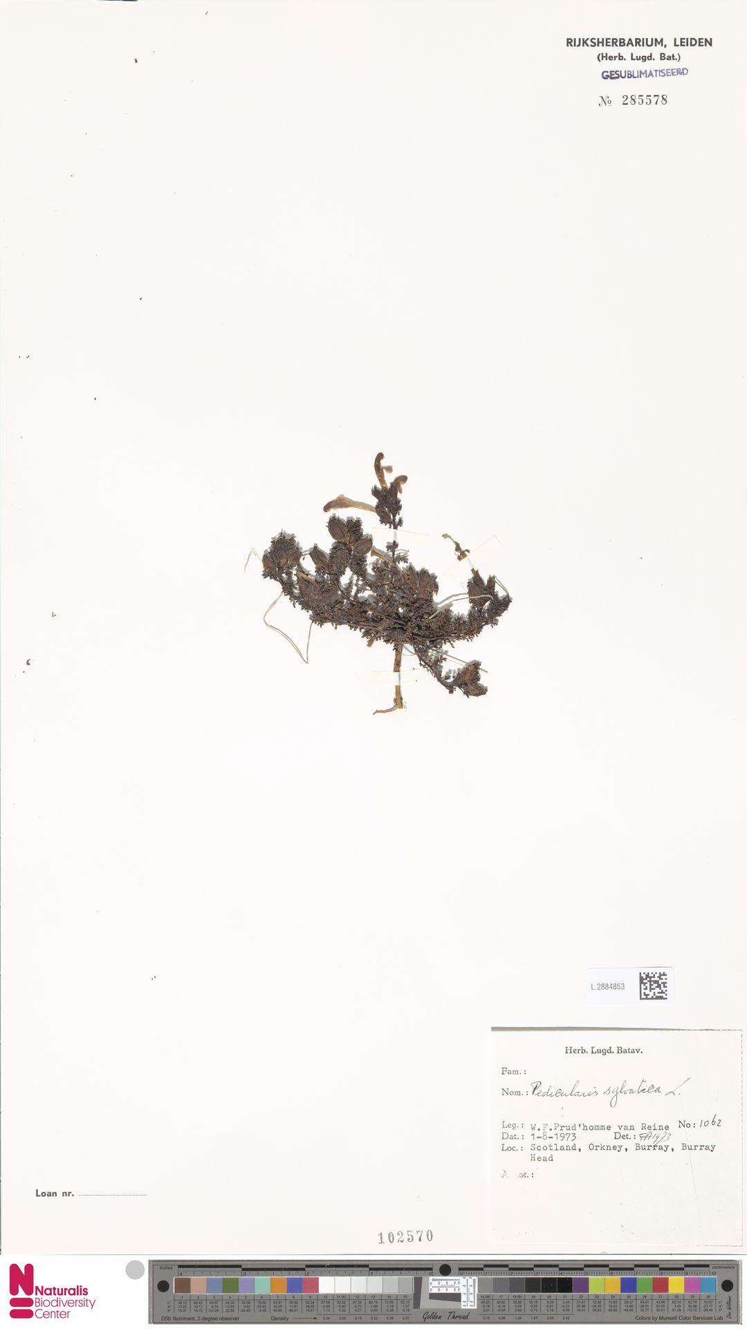 L.2884853 | Pedicularis sylvatica L.
