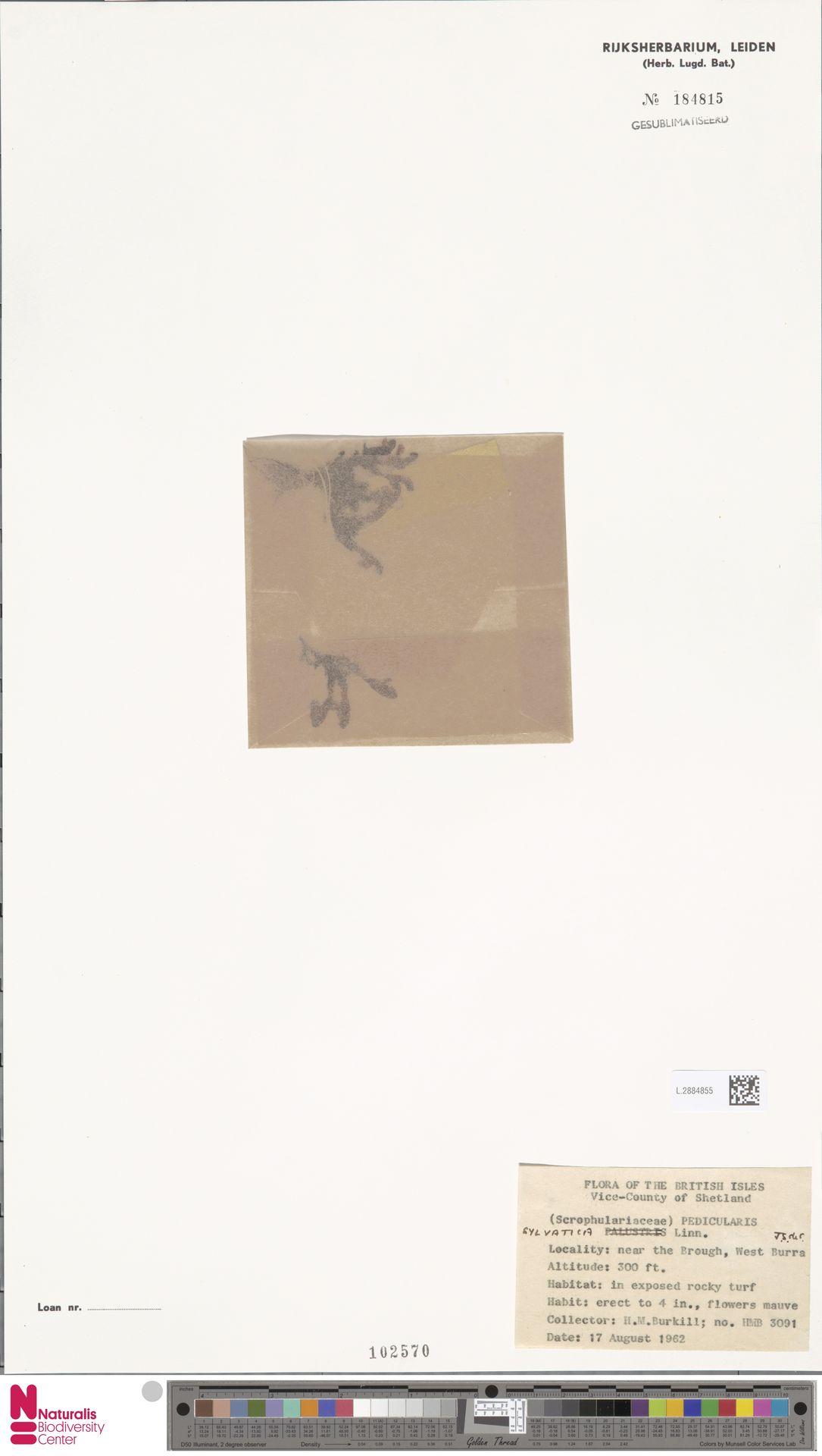 L.2884855 | Pedicularis sylvatica L.